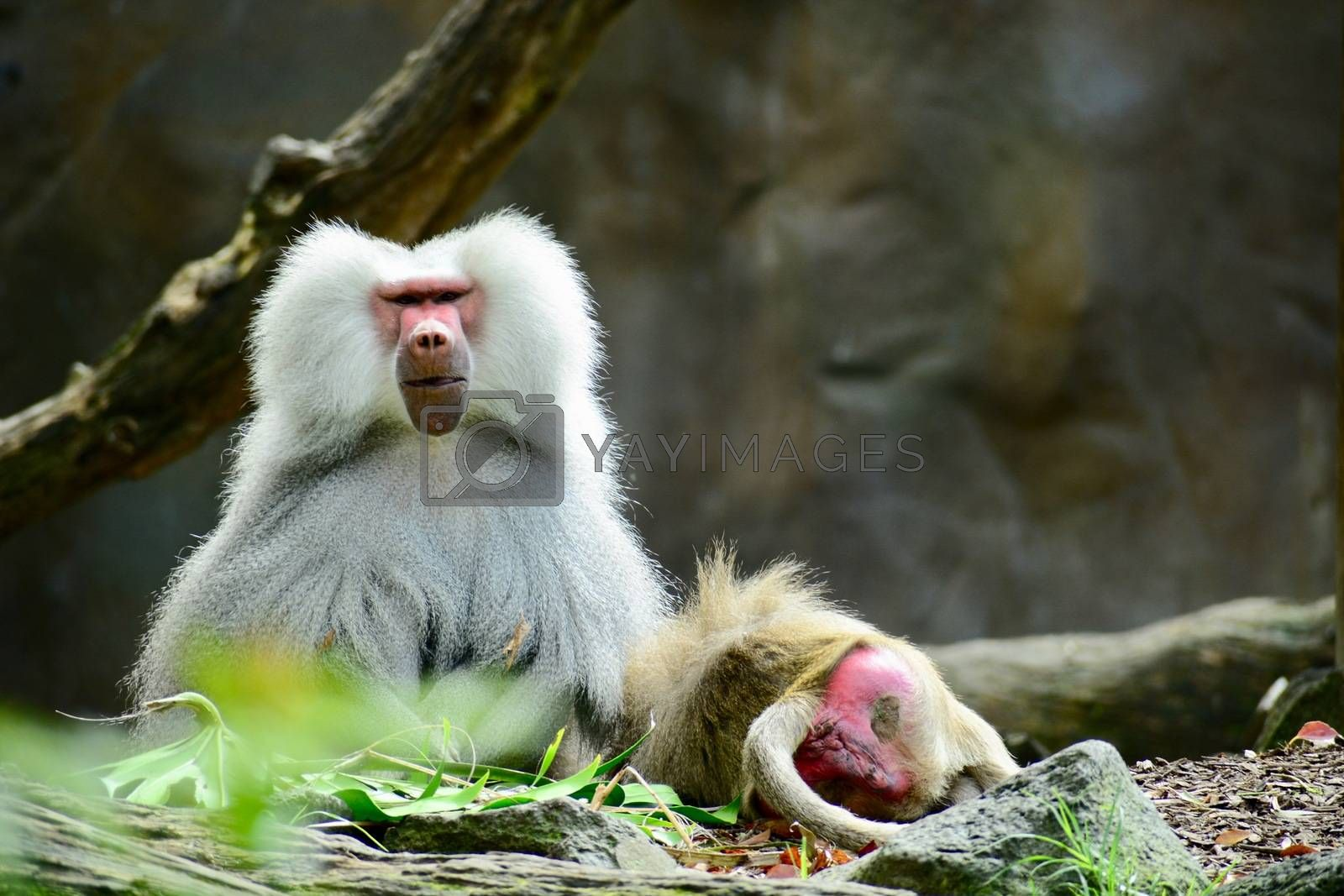 Hamadryas Baboon displays complex social behaviors, and can live in troops of several hundred individuals.