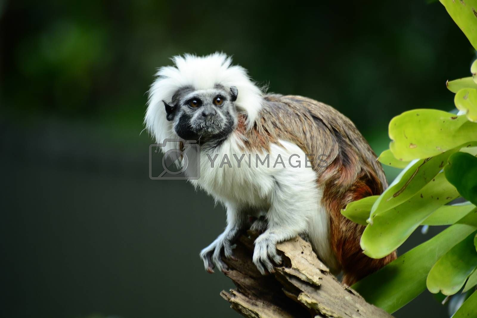 Cotton-top tamarins form monogamous relationships (only one partner) and are very territorial.
