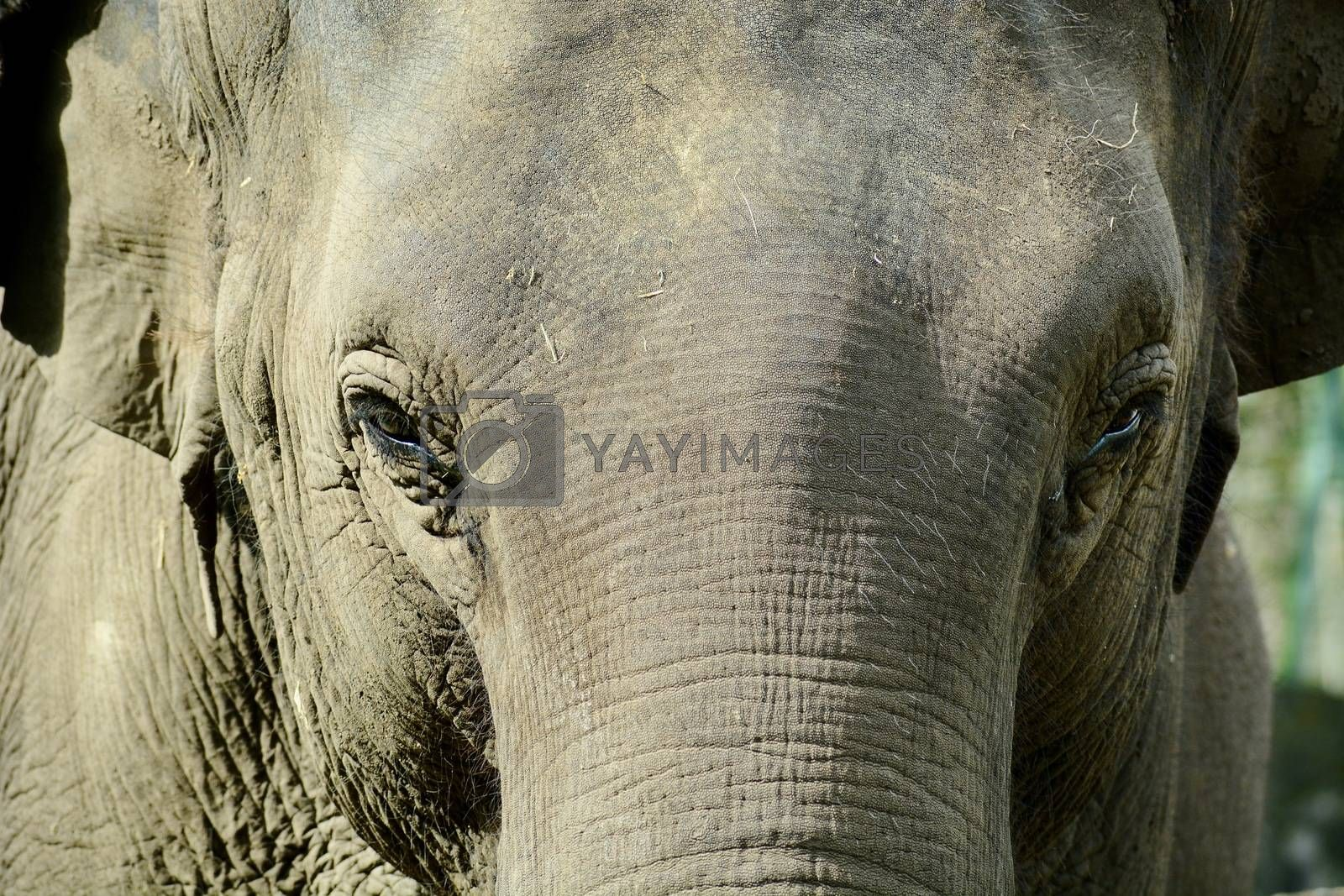 The Asian elephant is the largest living land animal in Asia