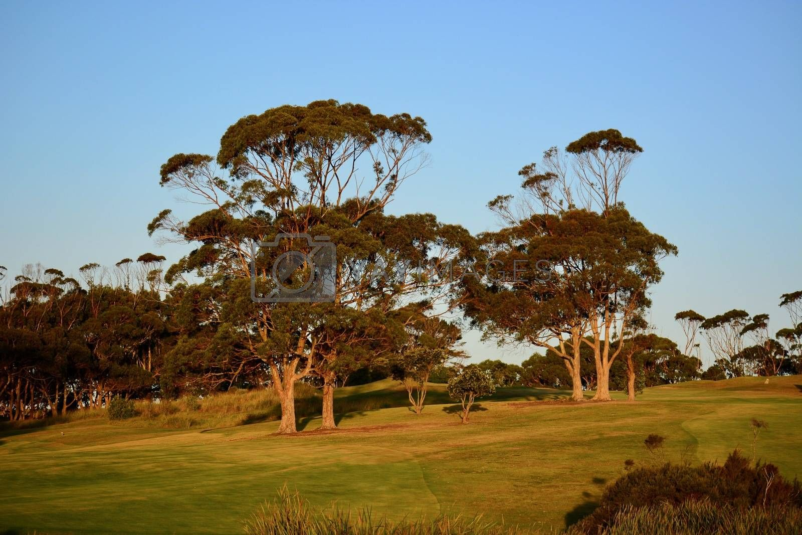 Eucalypti, or Eucalyptus trees, are commonly known as gum trees or stringybark trees; grow rapidly, and many species attain great height. Beautiful golden evening light.