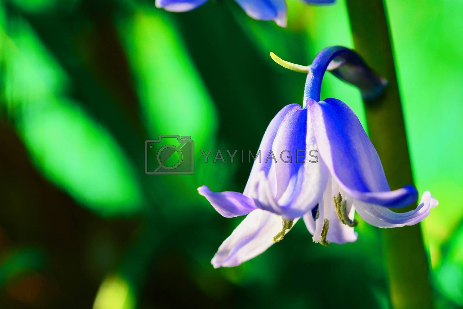 Hyacinthoides non-scripta is a bulbous perennial plant, found in Atlantic areas from north-western Spain to the British Isles, and also frequently used as a garden plant.