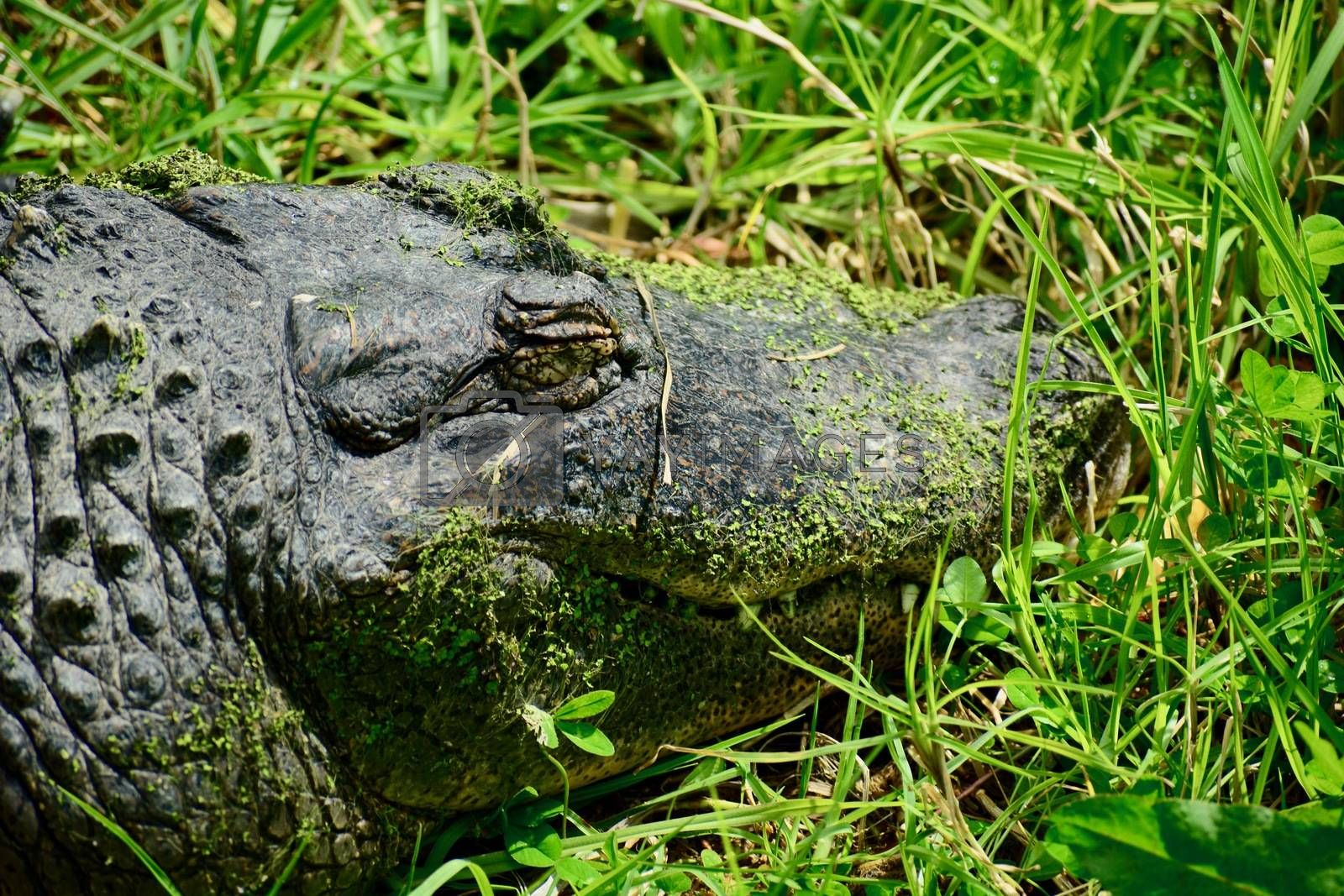 American alligators are apex predators and consume fish, amphibians, reptiles, birds, and mammals.