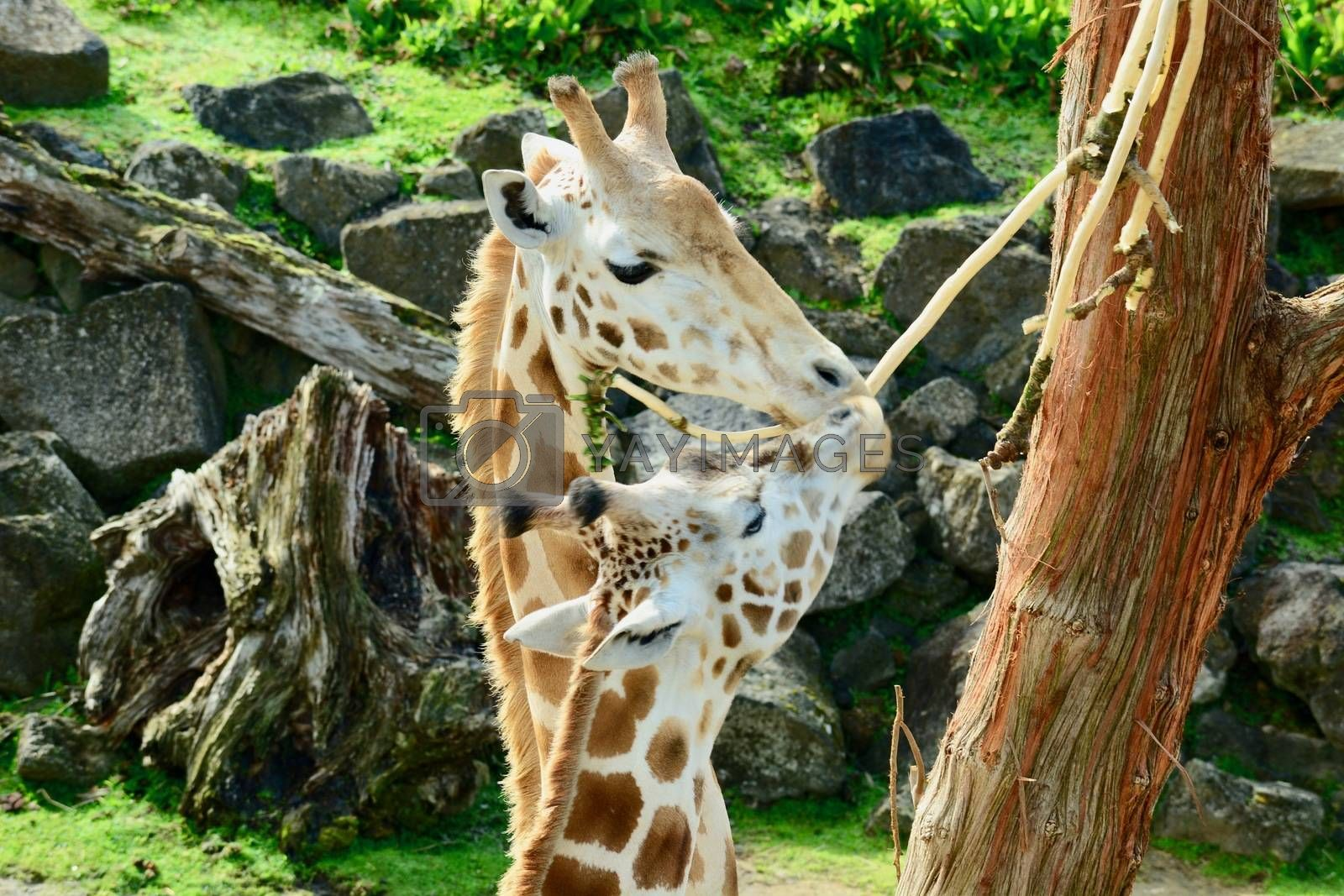 Fully grown giraffes stand 4.3–5.7 m (14.1–18.7 ft) tall, with males taller than females