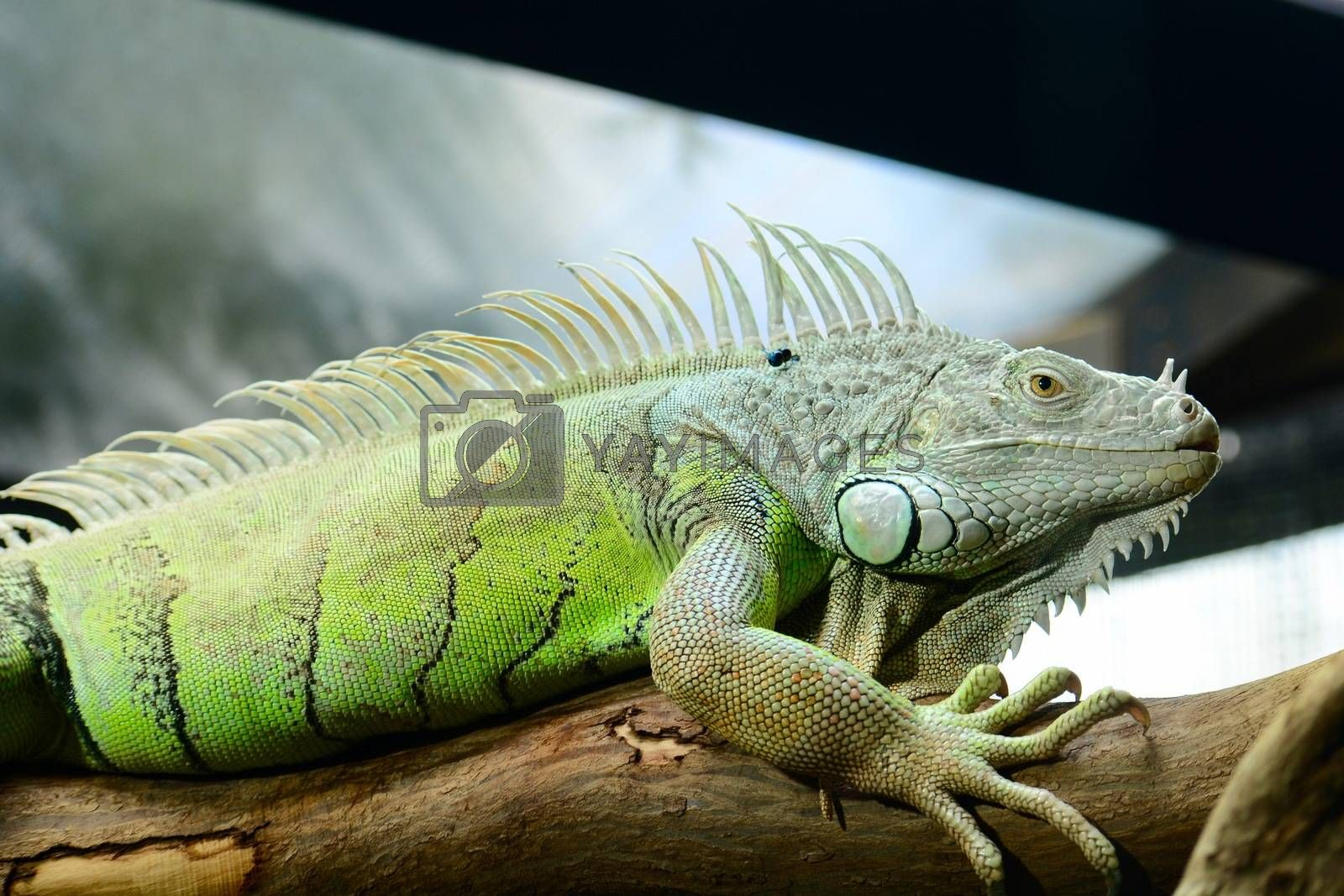 The green iguana ranges over a large geographic area in South America. Commonly found in captivity as a pet due to its calm disposition and bright colors