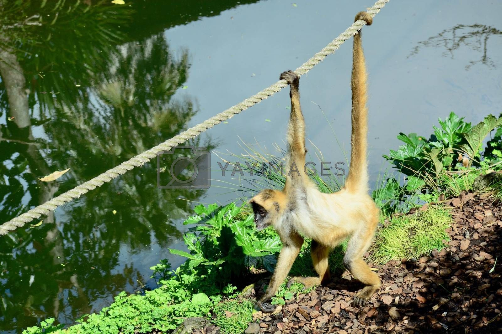 Spider monkeys live in the upper layers of the rainforest, and forage in the high canopy
