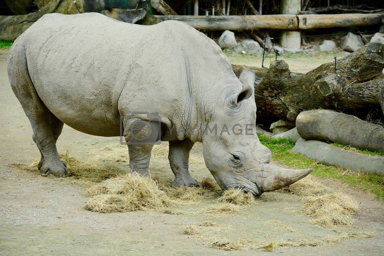 White rhinoceroses are found in grassland and savannah habitat. Herbivore grazers that eat grass, preferring the shortest grains, the white rhinoceros is one of the largest pure grazers.