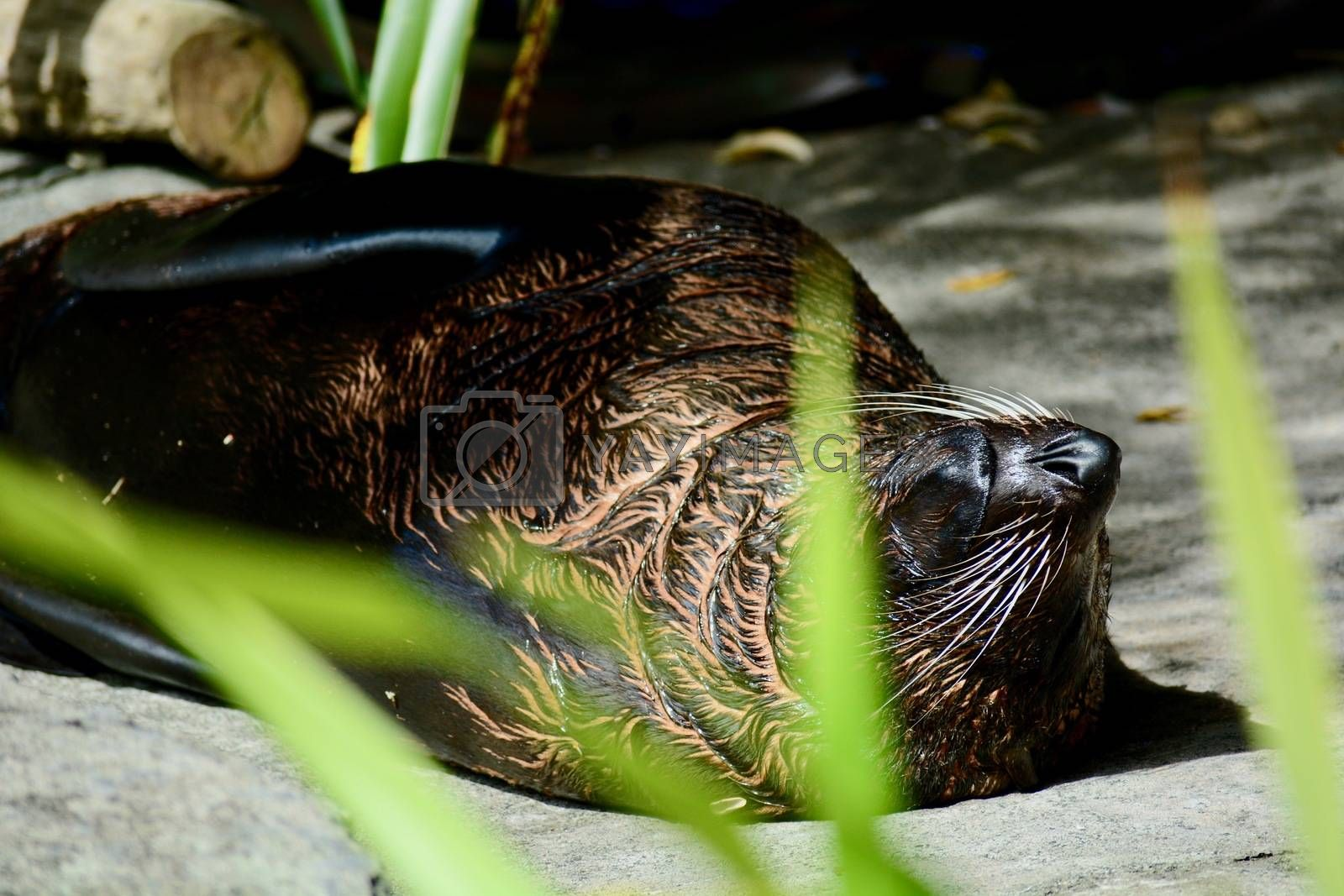 New Zealand sea lion is one of the rarest sea lion species in the world and are only found in New Zealand.
