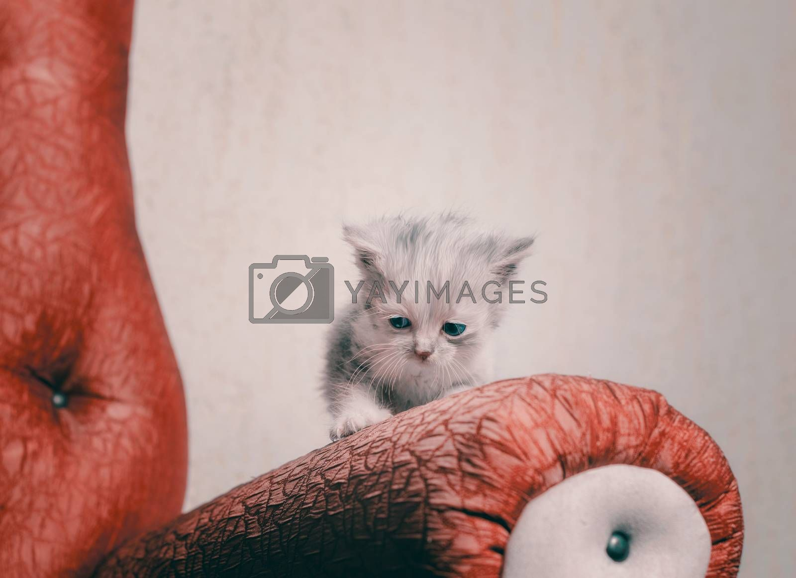sad fluffy lonely blue-eyed little kitten on the railing of a red sofa