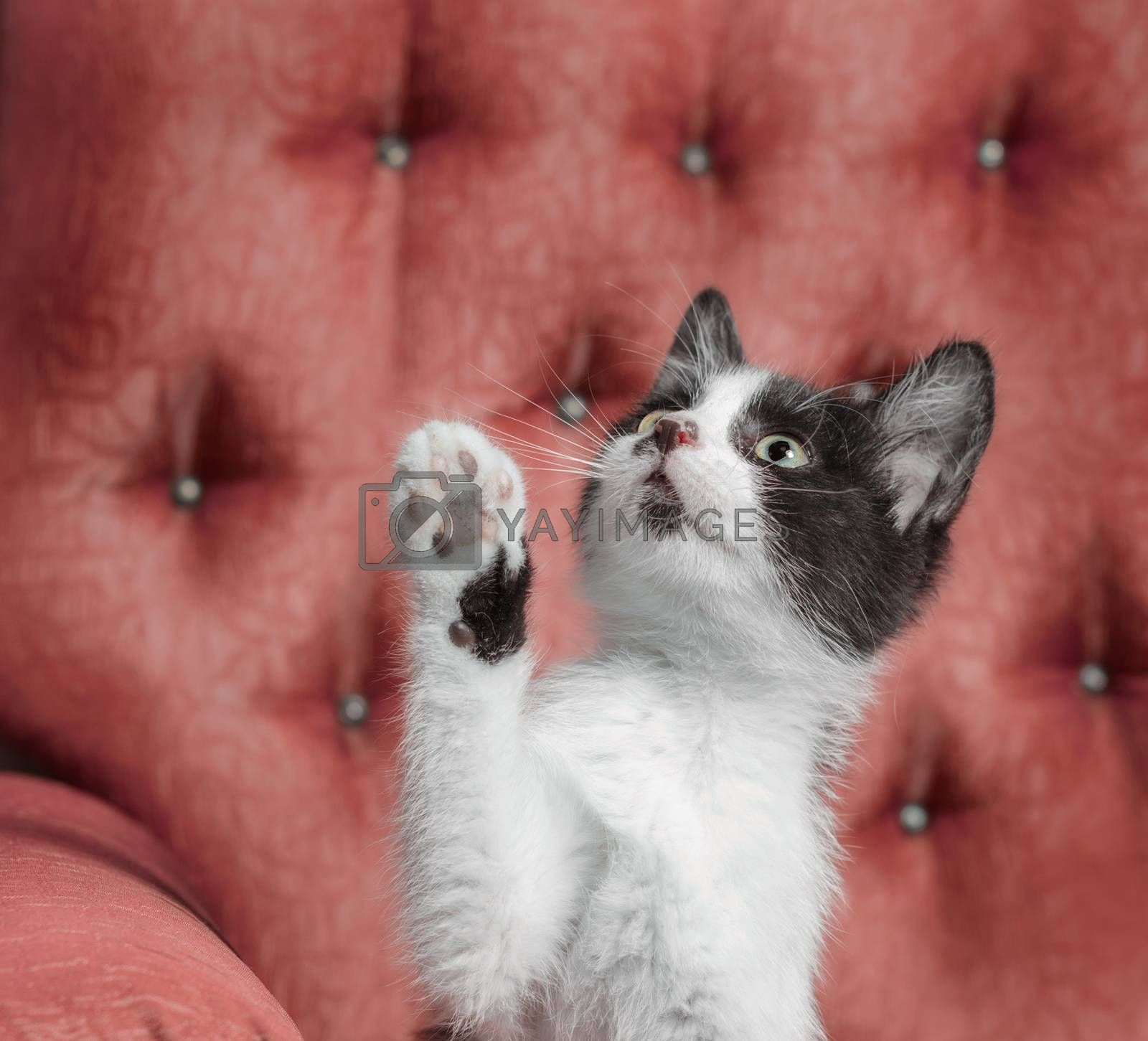 black and white outbred kitten sitting on a red armchair and raised his paw up
