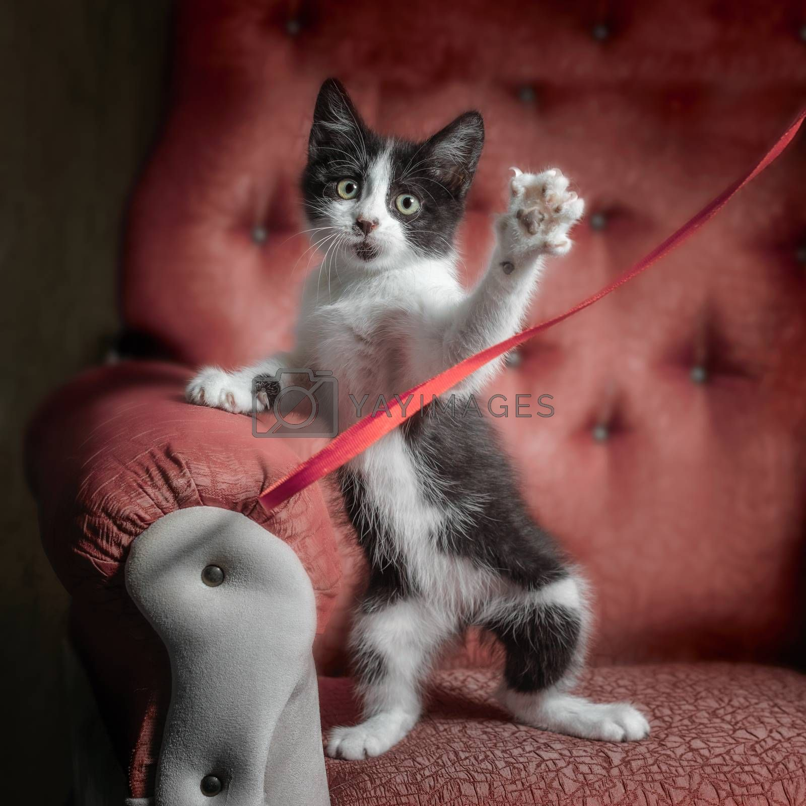 black and white outbred kitten on a red sofa plays with a ribbon