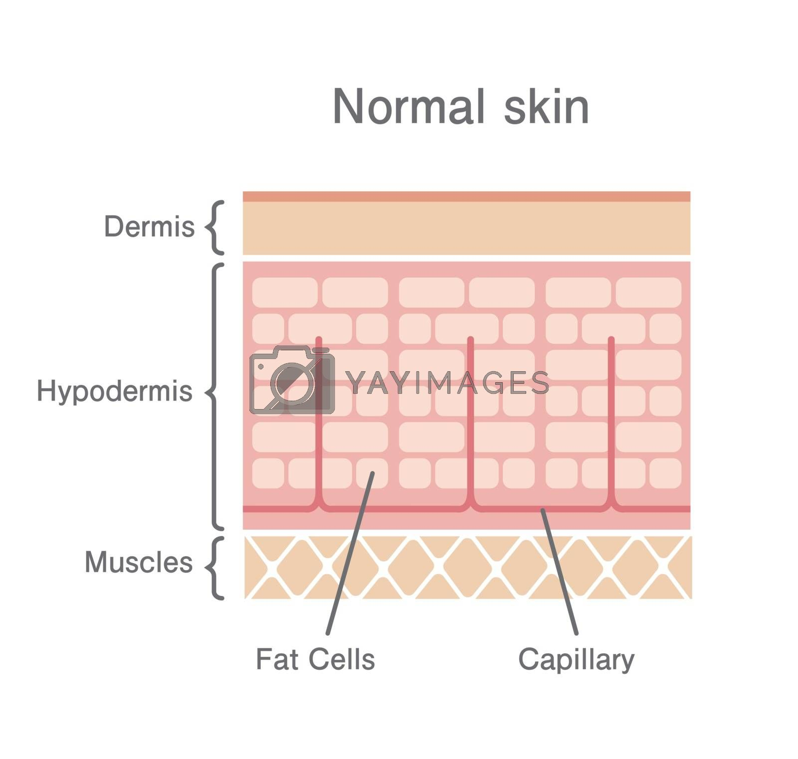 Royalty free image of Normal skin illustration by barks