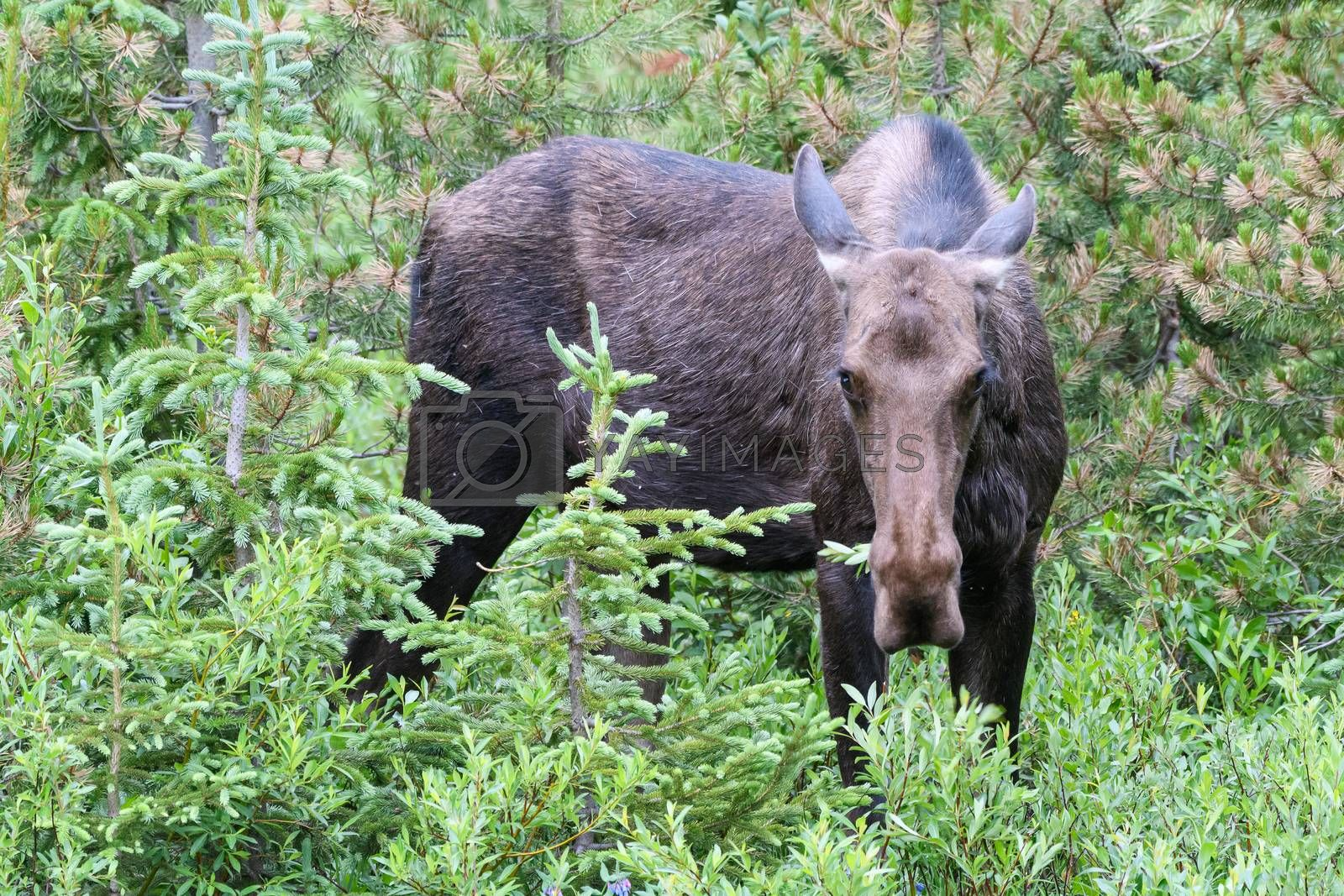 Moose in the Colorado Rocky Mountains by Gary Gray