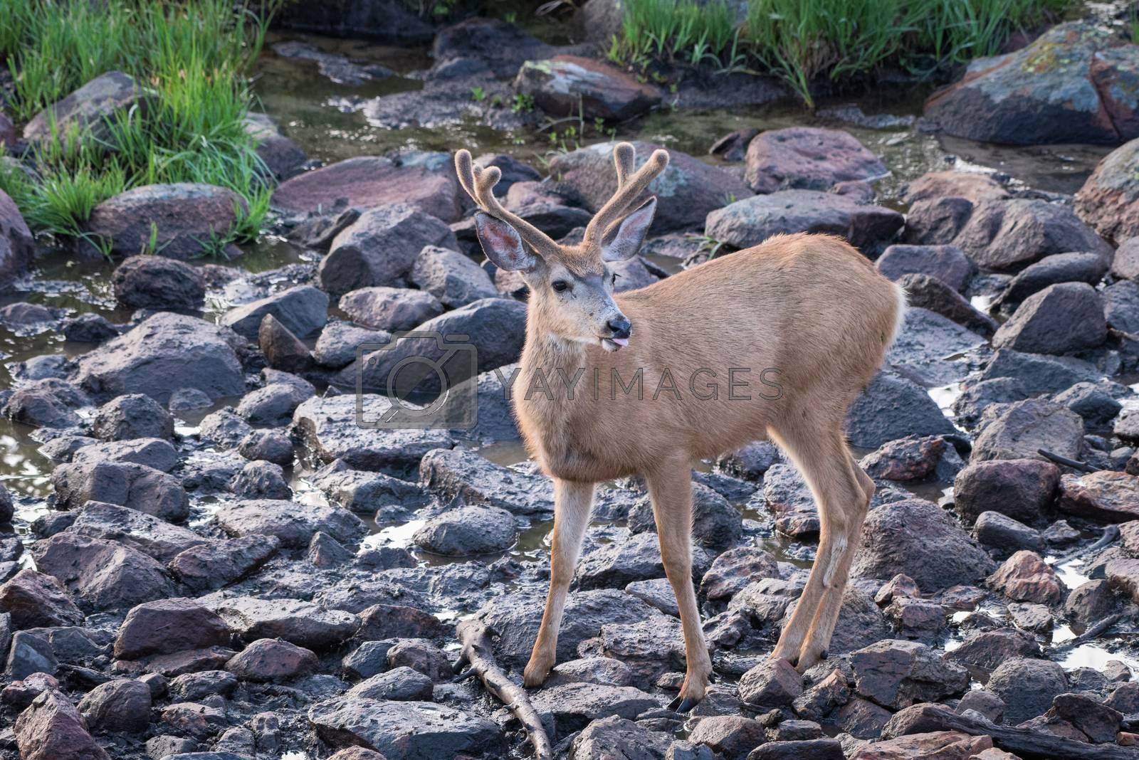 Colorado Wildlife. Wild Mule Deer Buck in the Colorado Rocky Mou by Gary Gray