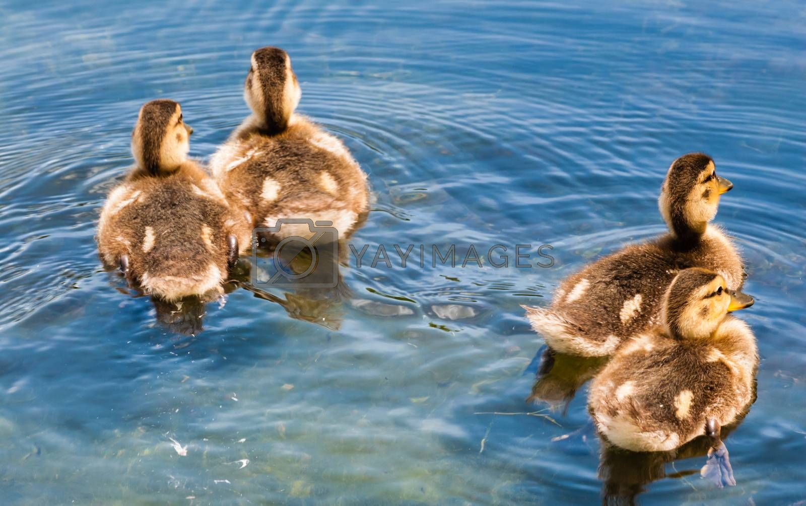 Four cute fluffy young ducklings from rear, swimming away on water in different directions, making ripples on water.