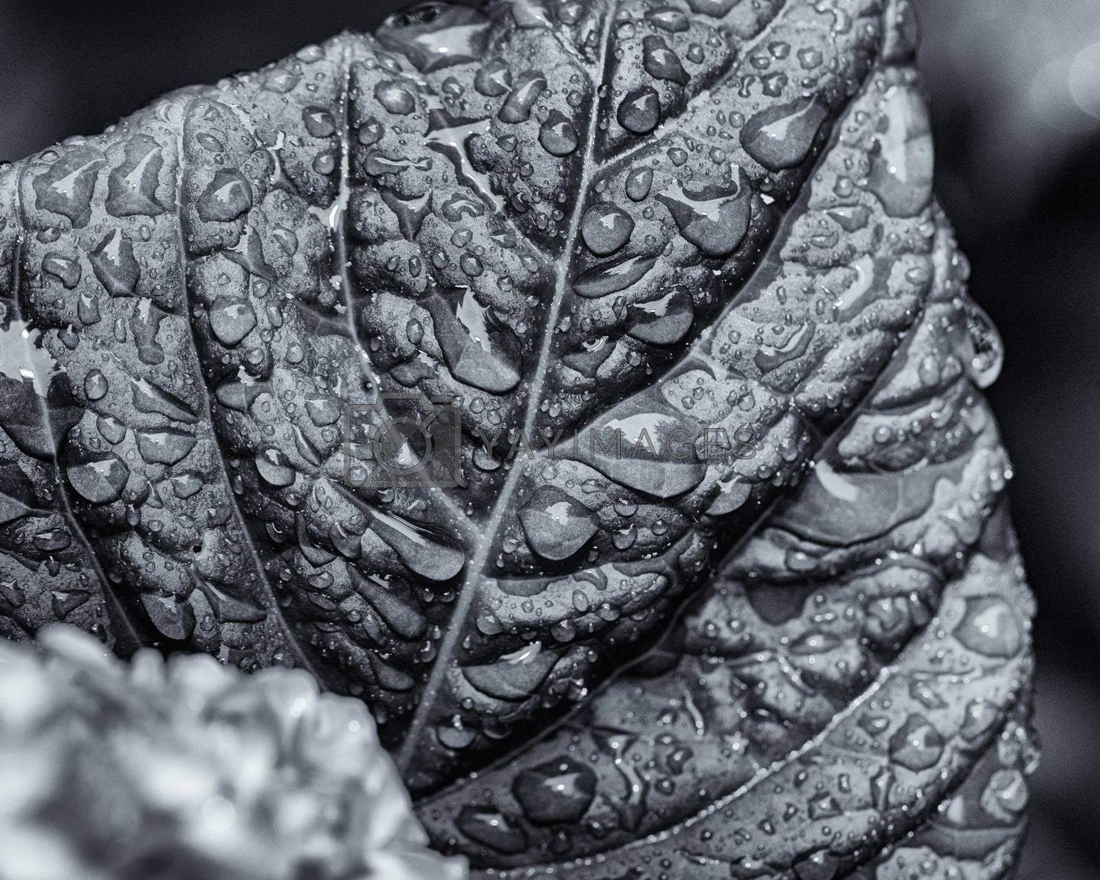 Highly textured monochrome view of hydrangea leaf with beads of rain.