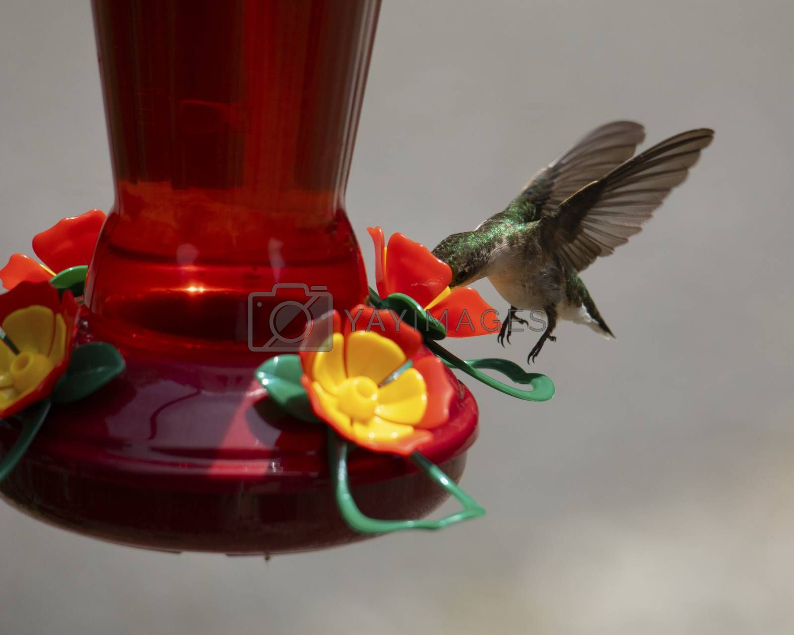 Female ruby-throated hummingbird hovers over a feeder while getting nectar.