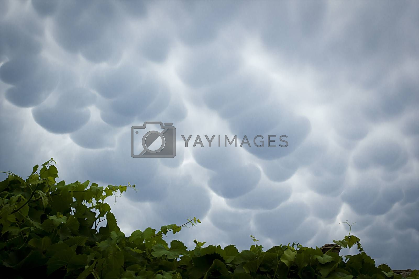 Menacing mammatus clouds before the storm, stormy sky, climate change and unpredictable terrifying mother nature