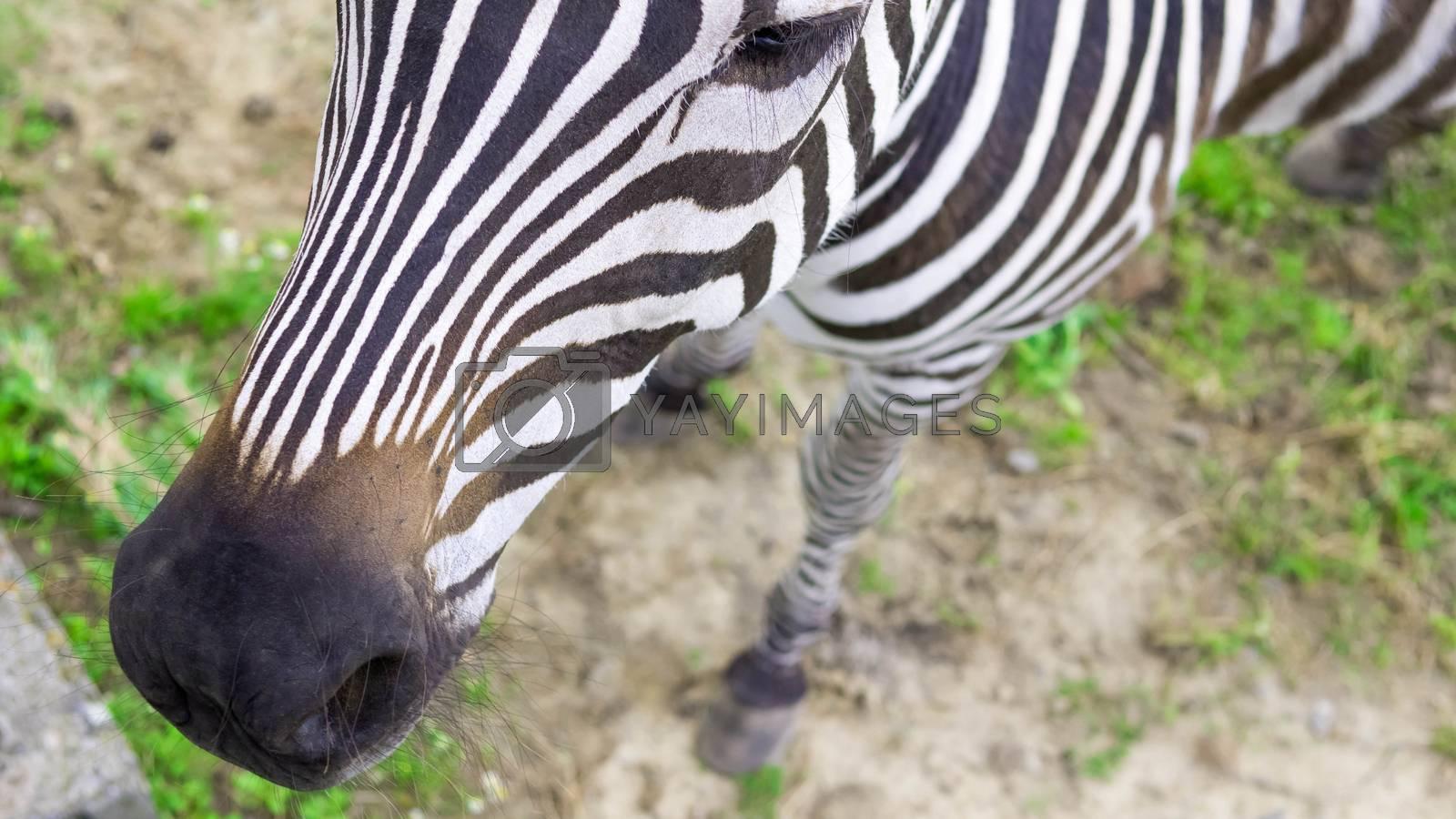 Animal Zebra,top view,beautiful animal on the grass.
