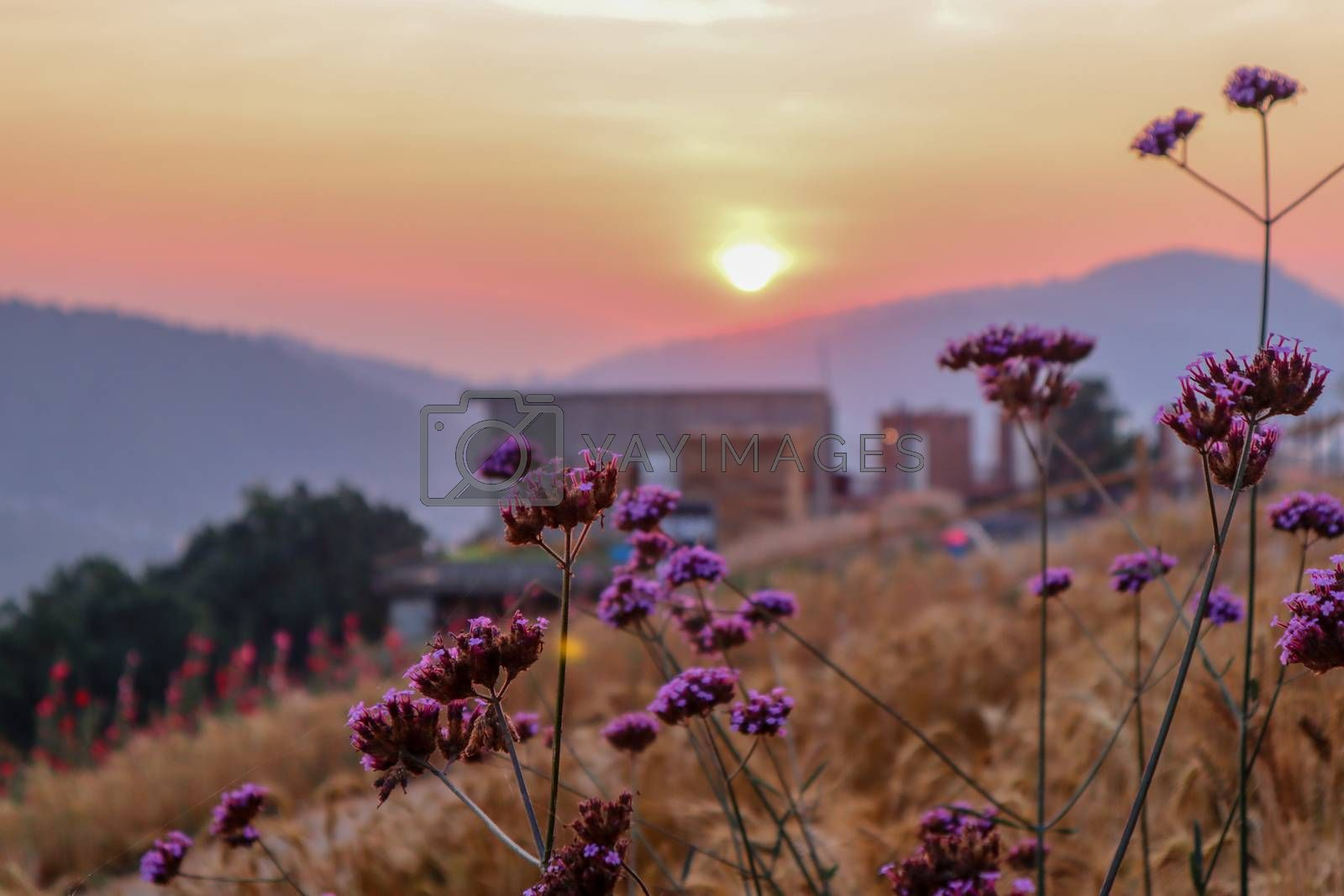 summer nature background with grass and flower village farm house and mountains back with bright sunset in the evening
