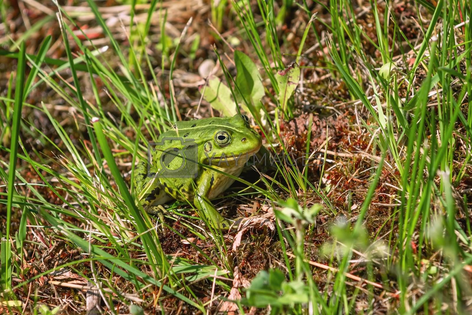 Green frog in the grass near the pond