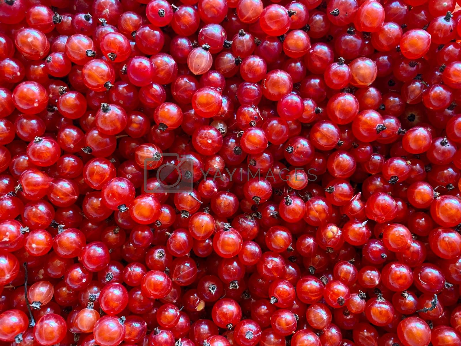 Background of ripe juicy red currant berries. Ripe Delicious berries. Healthy food organic concept.