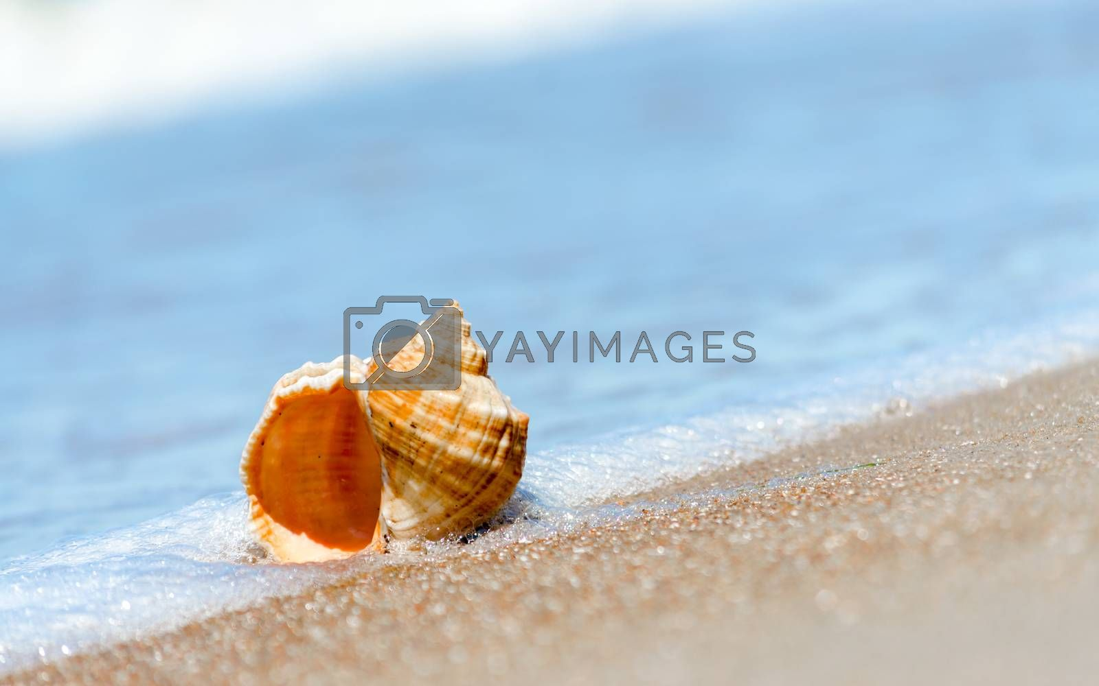 seashell closeup on the sand of a resort beach without people in Egypt Sharm El Sheikh