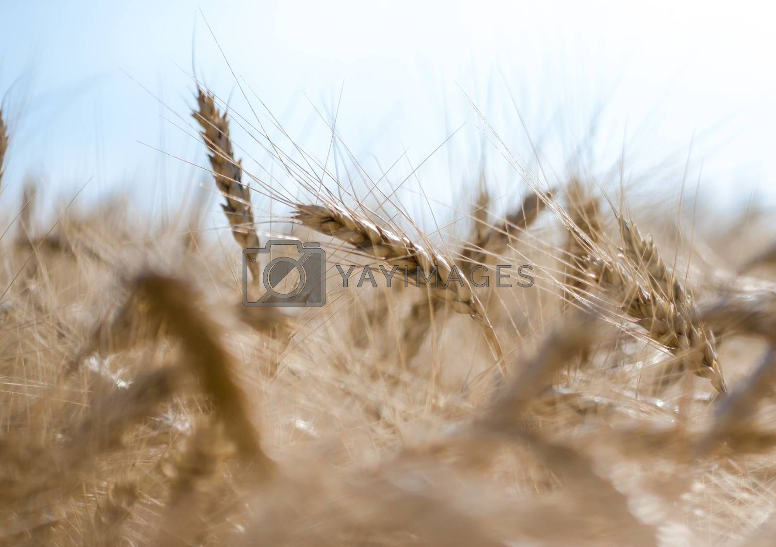 spikelets of wheat on the field closeup farm background