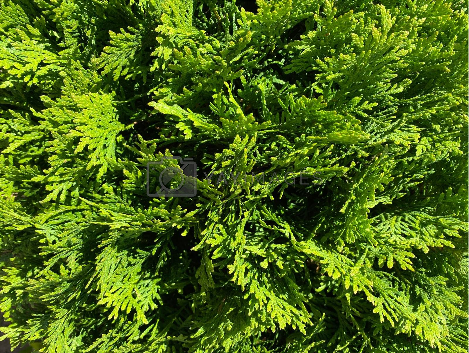 Green thuja background. Natural green texture. Evergreen leaves blurry background. Selective focus.