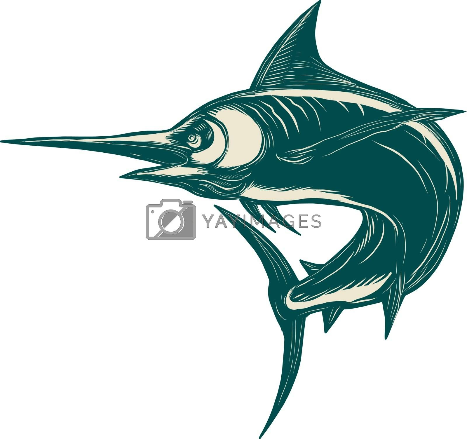 Scratchboard style illustration of a blue marlin, marlin, sailfish , bill fish or game fish jumping done on scraperboard on isolated background.