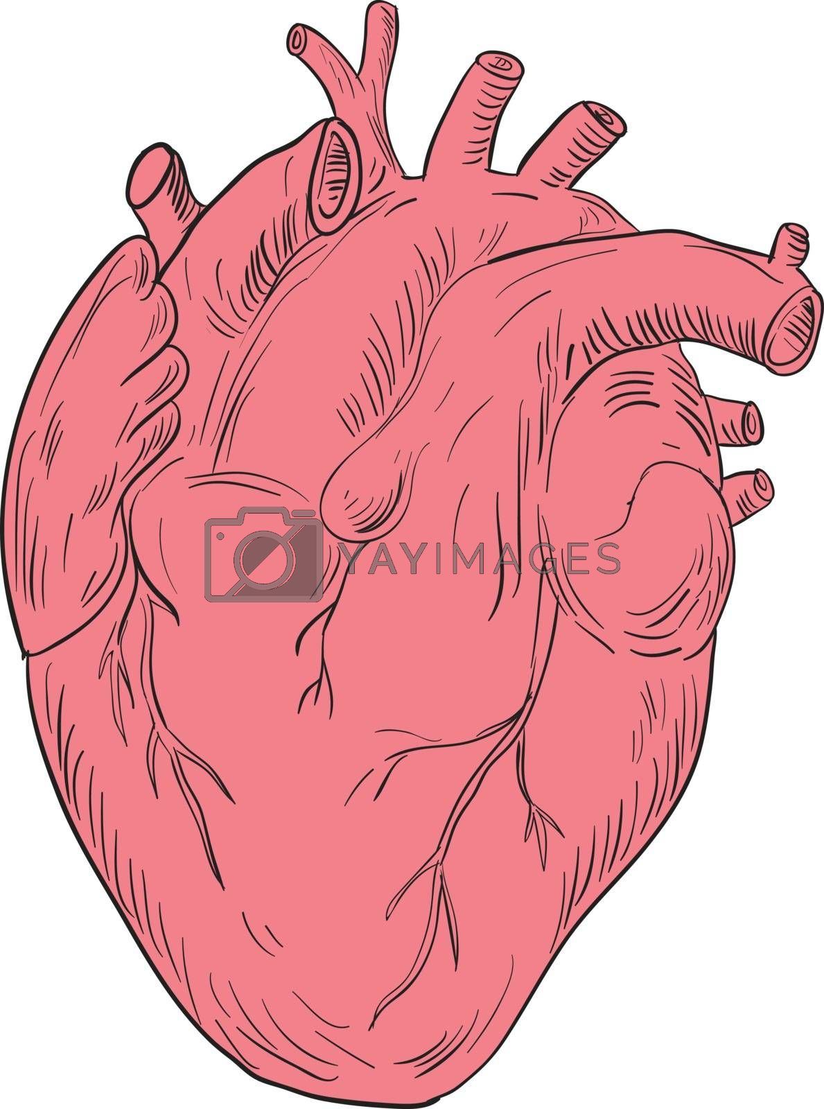 Drawing sketch style illustration of a human heart anatomy set isolated white background.