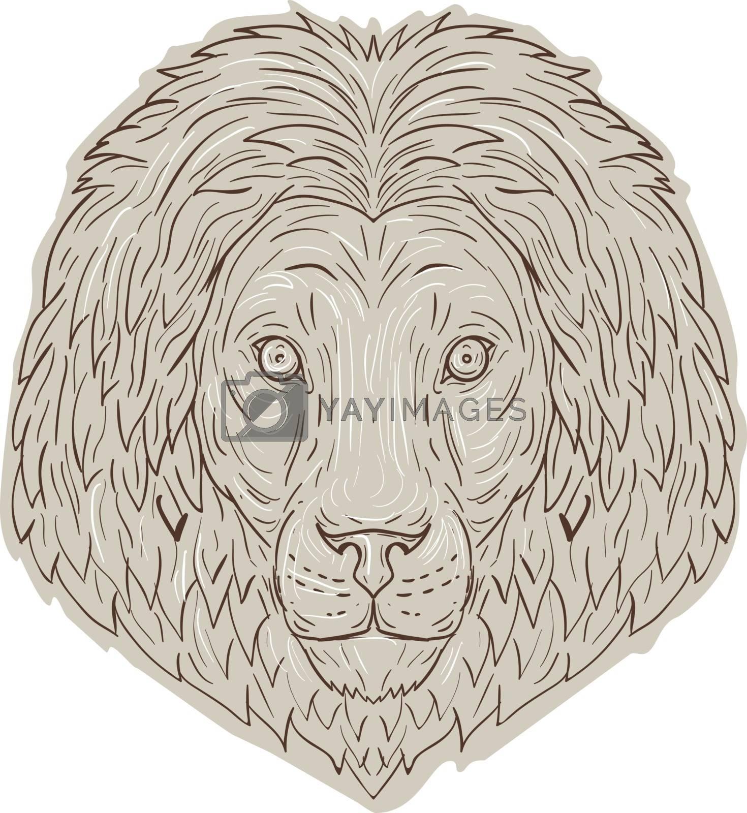 Lion Big Cat Head Mane Drawing by patrimonio