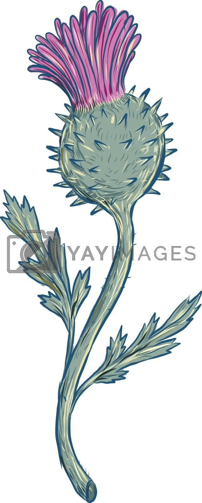 Drawing sketch style illustration of Scottish Thistle, a flowering plant with sharp prickles in the family Asteraceae on isolated background.