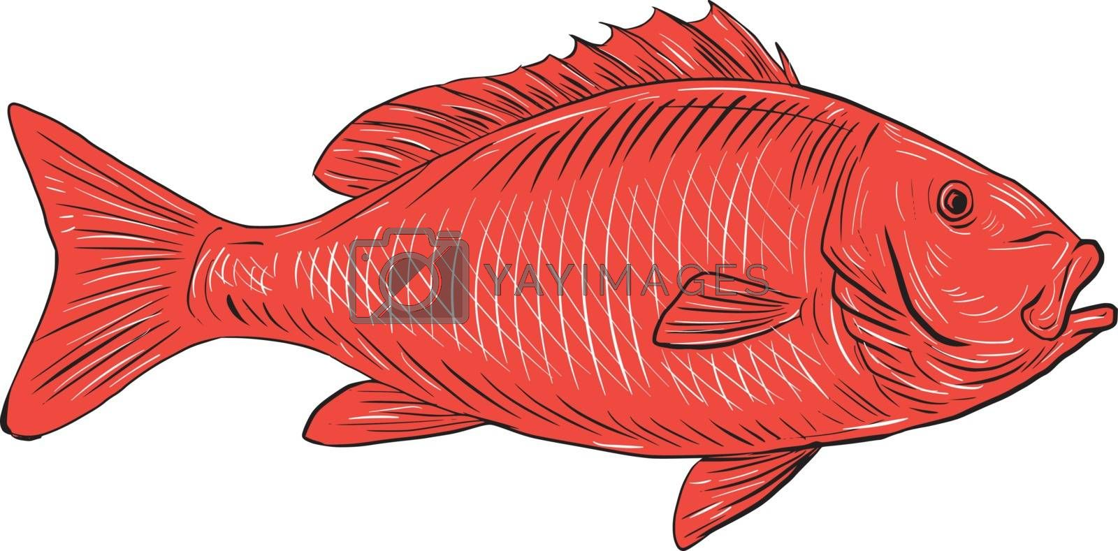 Drawing sketch style illustration of an Australasian snapper, silver seabream, Pagrus auratus, a species of porgie found in coastal waters of Australia, Philippines, Indonesia, China, Taiwan, Japan and New Zealand swimming viewed from the side set on isolated white background.