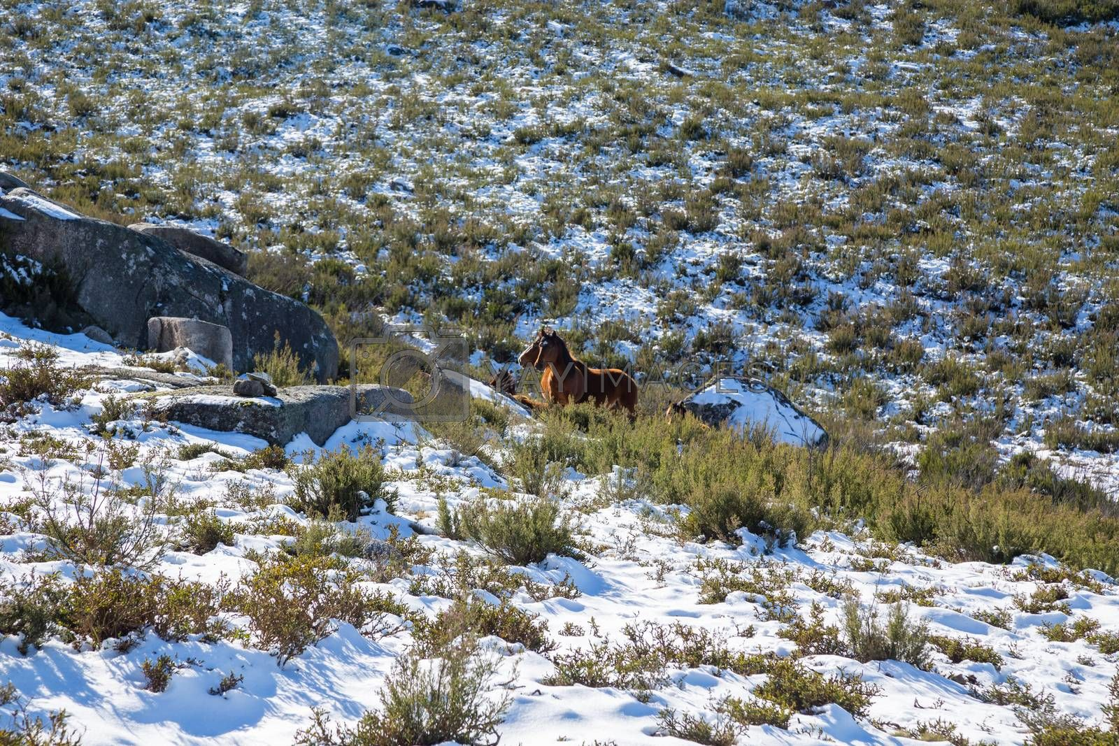 Wild horses pasturing at the mountains in the north of Portugal and Spain. Xures Mountains