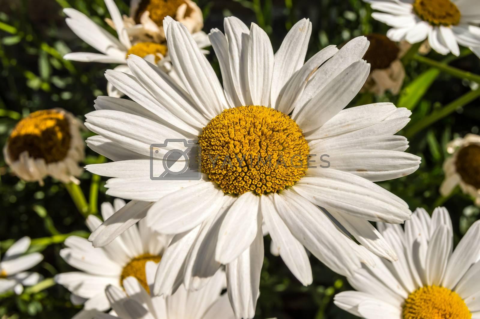 Leucanthemum x superbum, Shasta daisies. White spring, summer, outdoor fall flower.