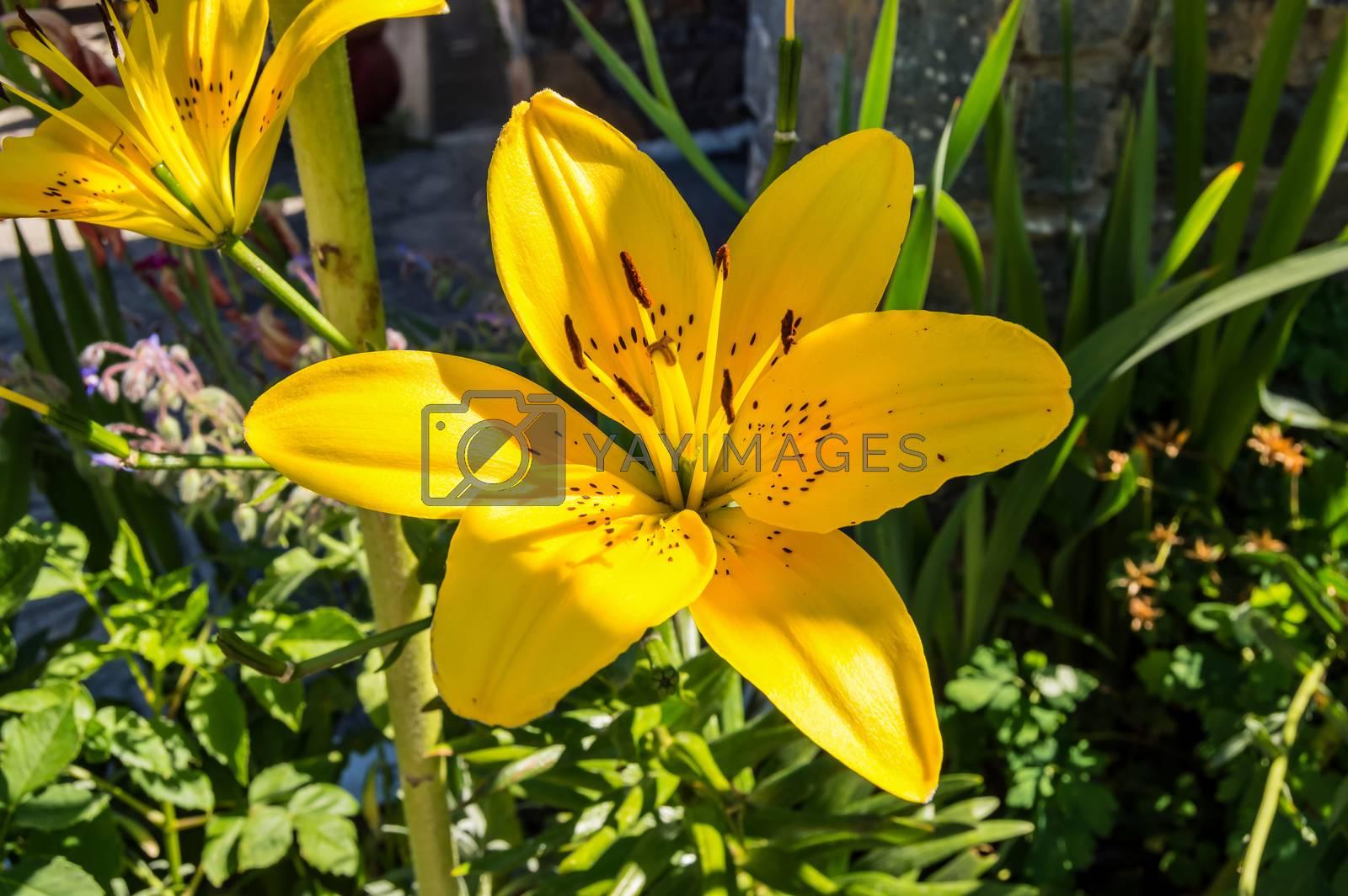 Flower of a fire lily (Lilium bulbiferum)Creta