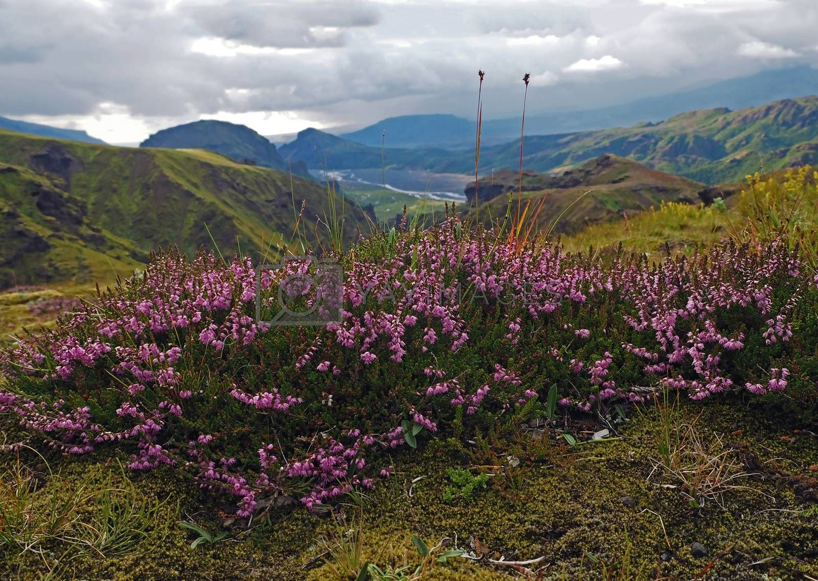 blooming pink heather briar flower with wonderfulview on valley in Godaland Thorsmork with krossa river in Iceland and green moss covered mountains