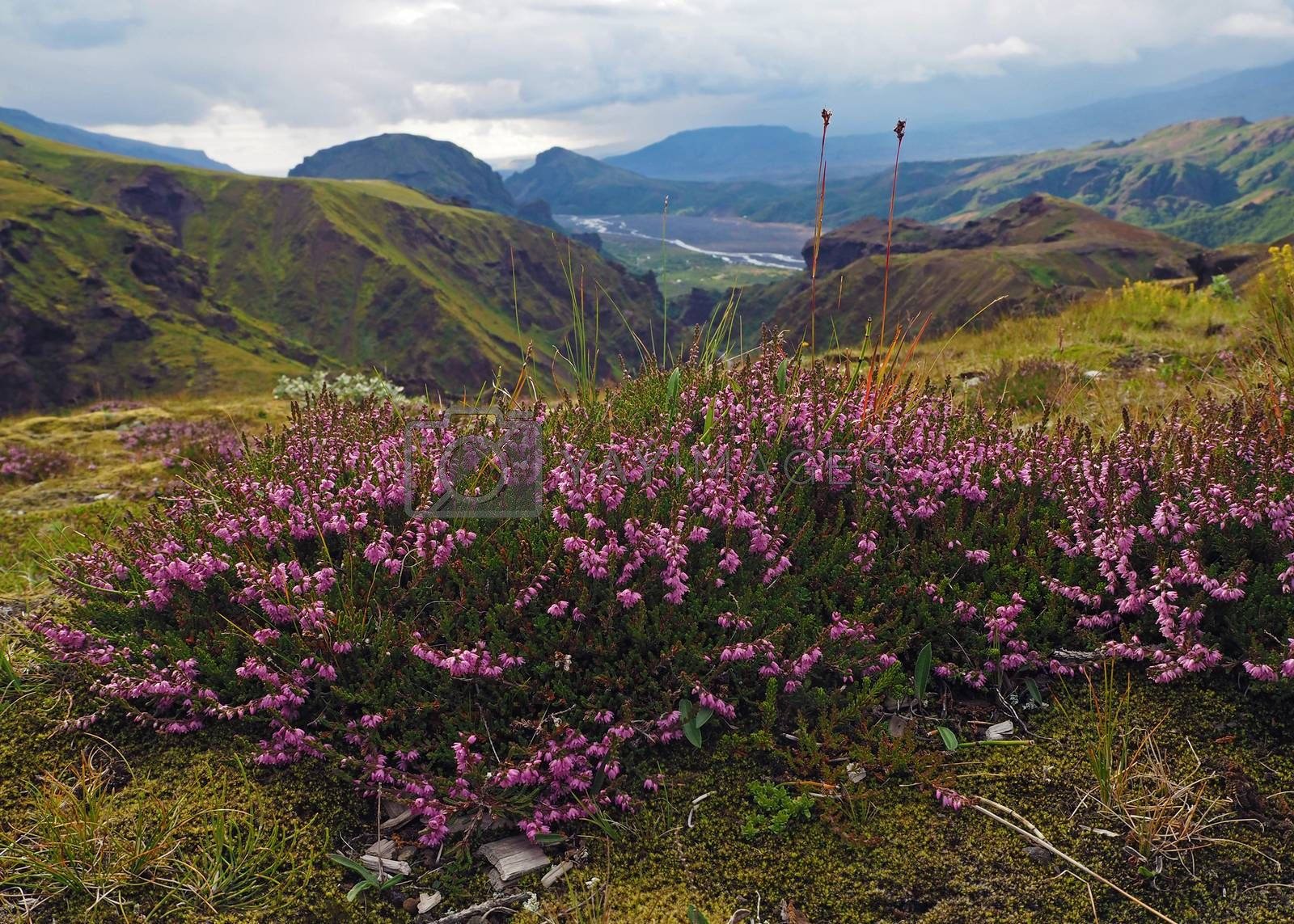 blooming pink heather flower with wonderful valley in Godaland Thorsmork with krossa river in Iceland and green moss and mountains