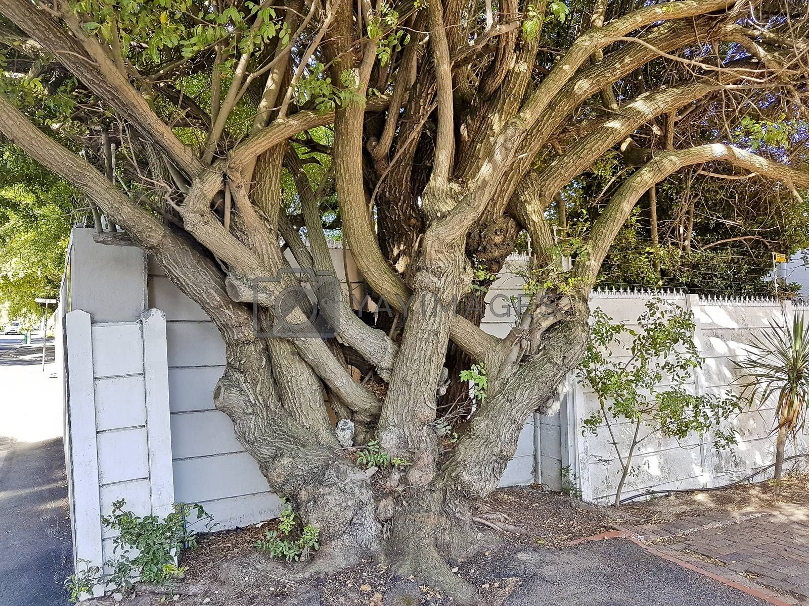 Big African unique and multi-stemmed tree in Cape Town, South Africa.
