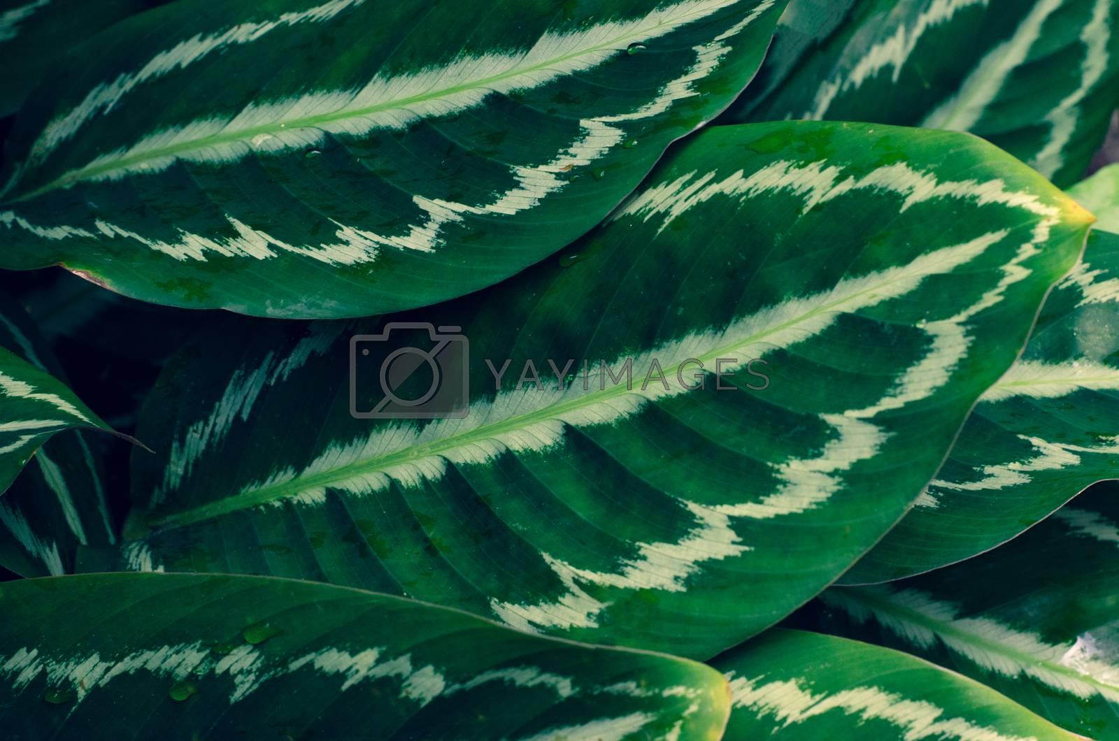 Leaves Calathea ornata pin stripe background blue