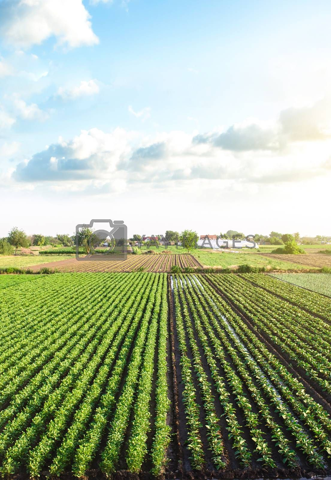Plantation landscape of green potato bushes. Agroindustry and agribusiness. European organic farming. Growing food on the farm. Growing care and harvesting. Beautiful countryside farmland. Aerial view