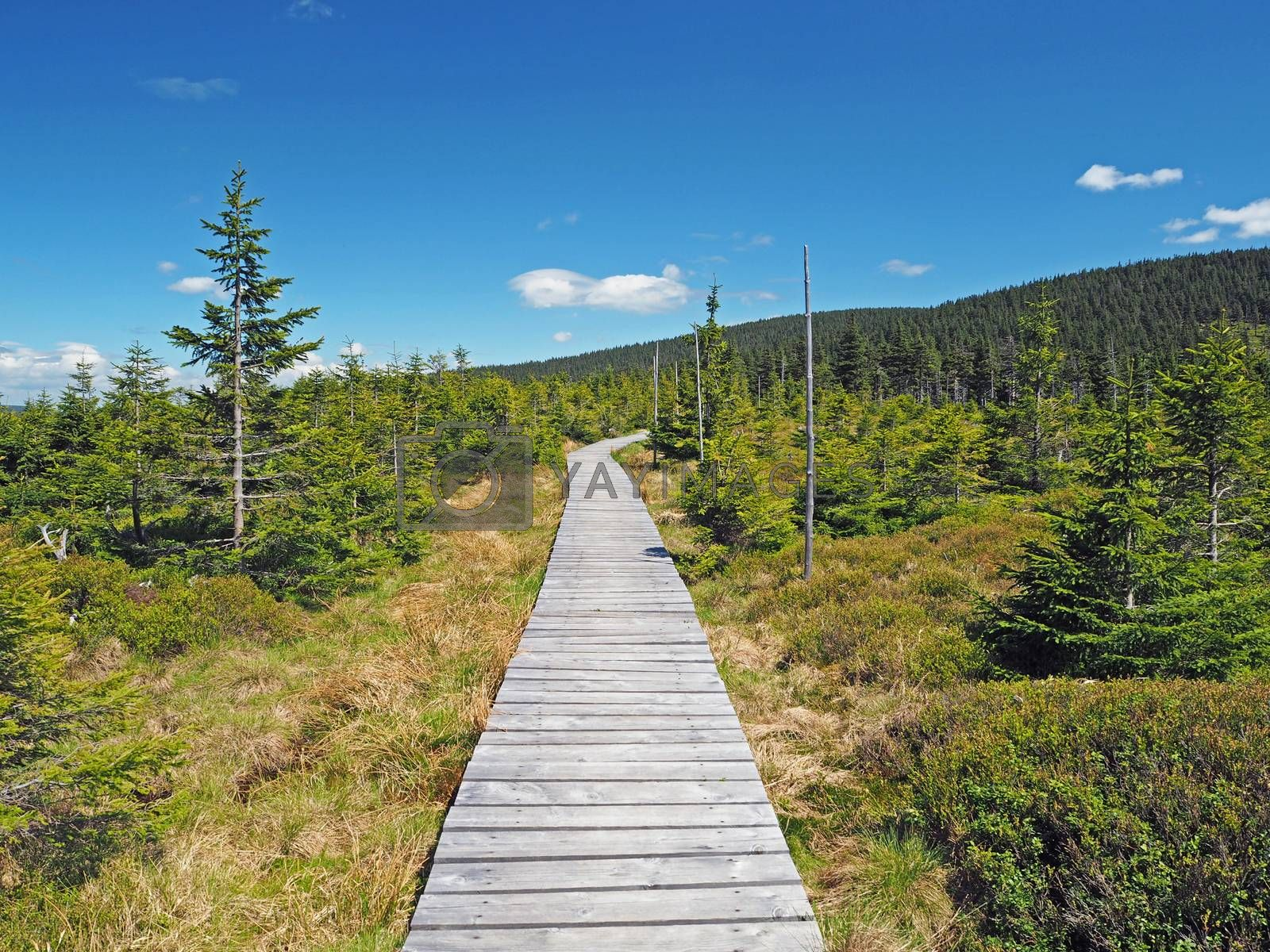 wooden plank footpath in Jeseniky mountain national park in spruce tree forest in Czech Republic with blue sky