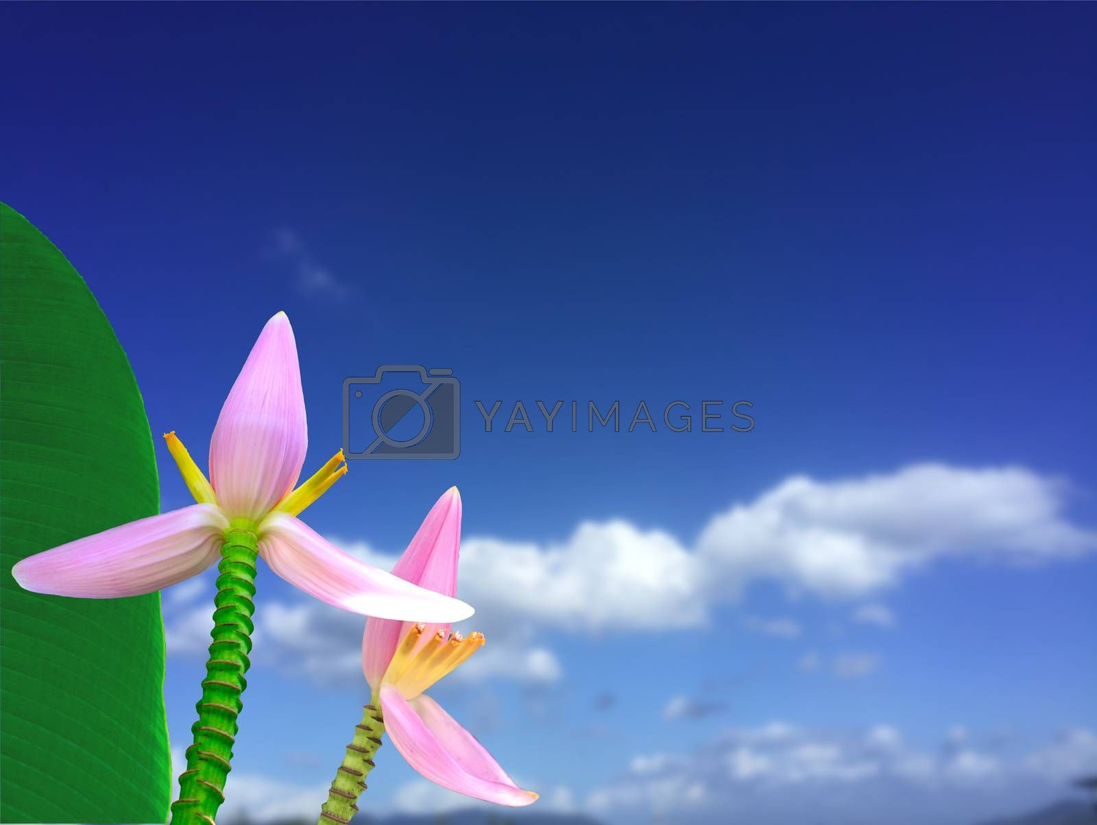 Pink banana flowers beautiful blossom with blue sky nature blurred background. Floral nature background with Copy space.