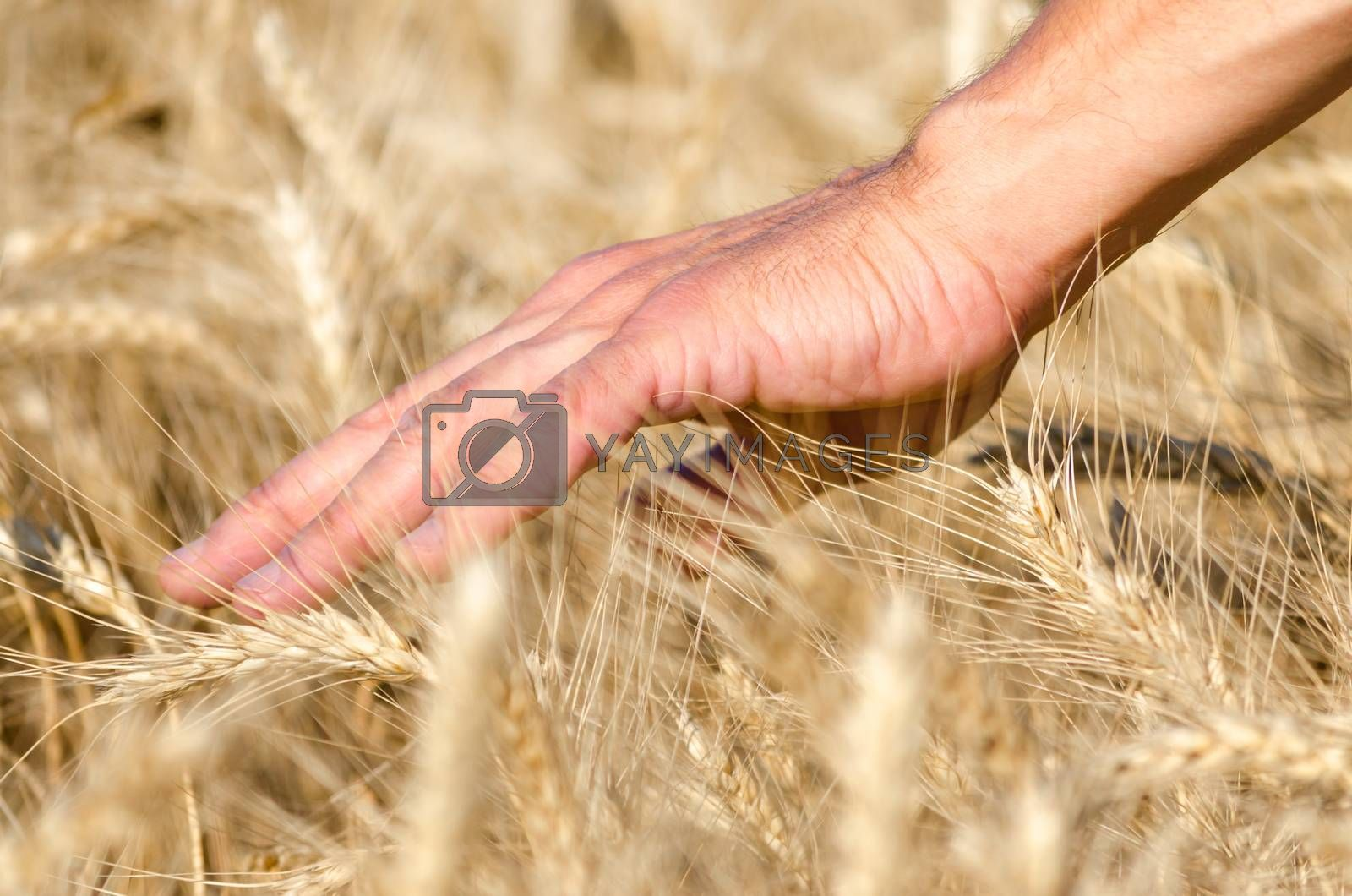 farmers male hand touching spikelets of wheat on the field close up