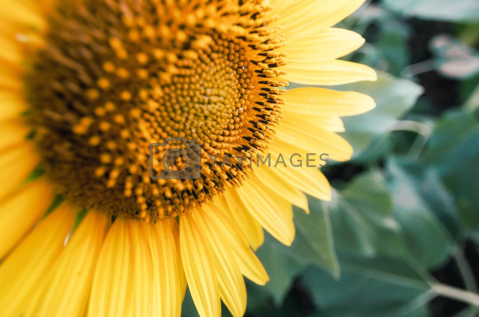 ripe sunflower with yellow leaves closeup farm background