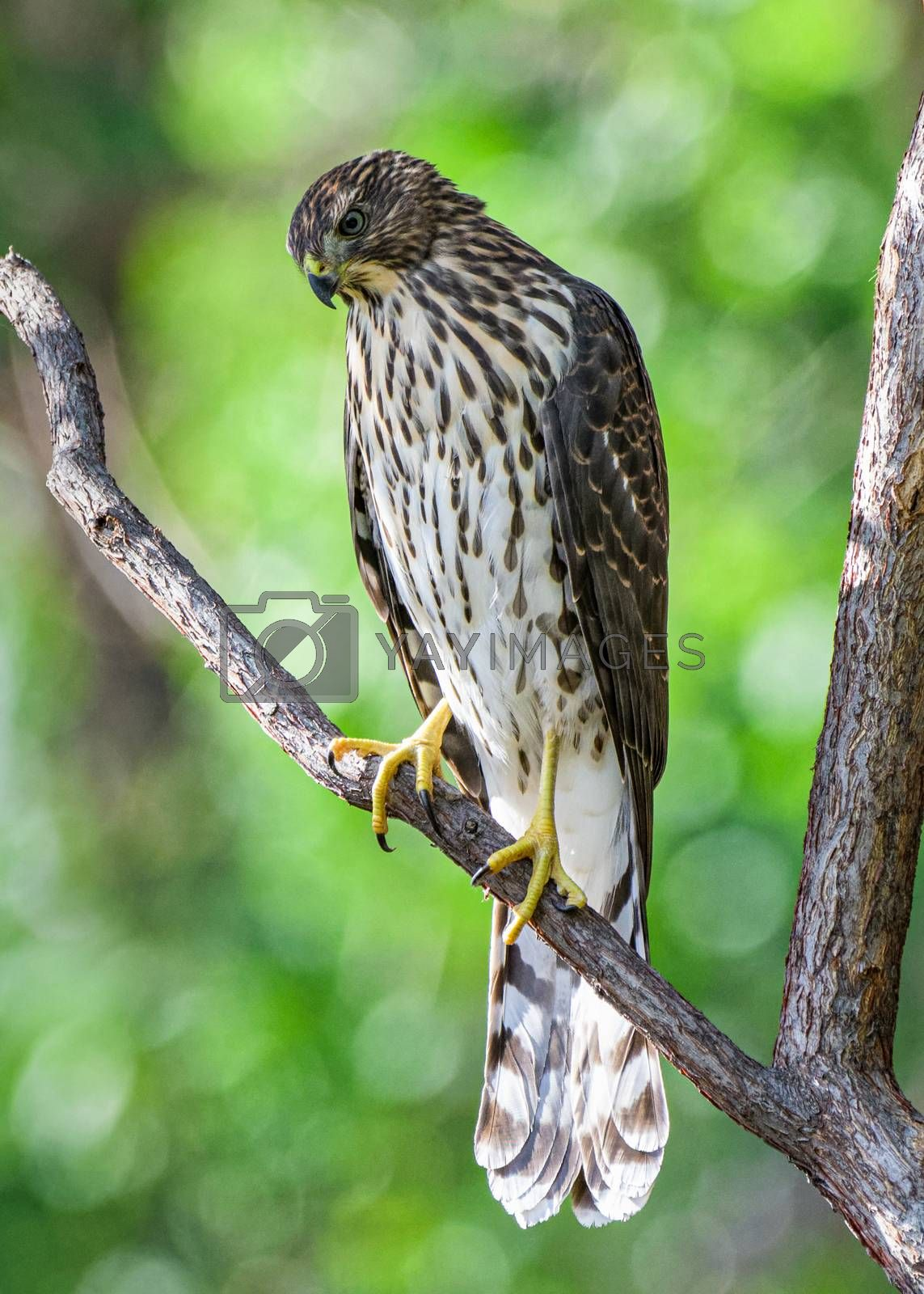 Coopers Hawk Sitting on a Tree Branch by Gary Gray