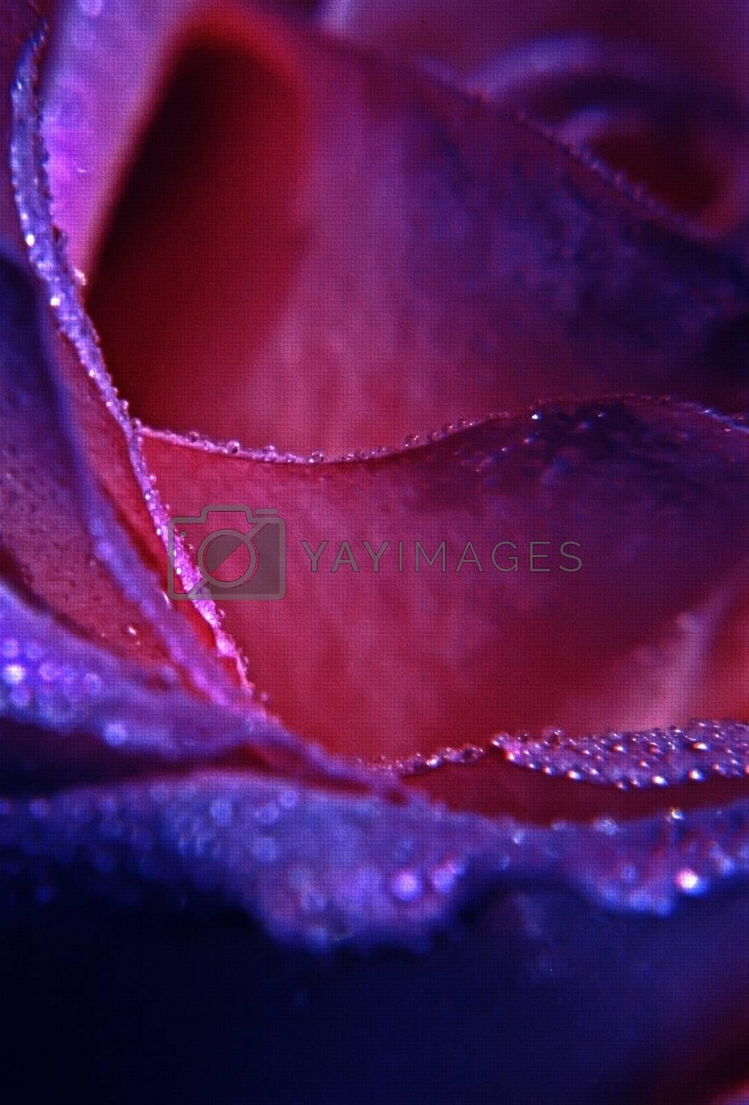 Rose petals close up macro