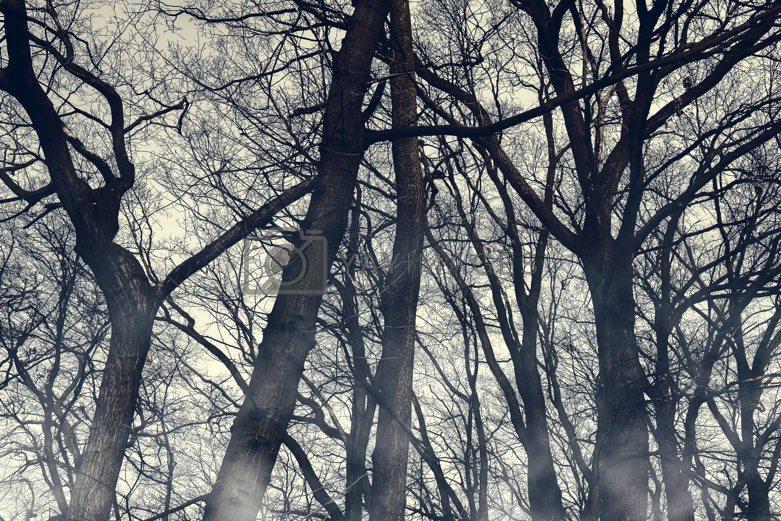 Horror foggy trees silhouettes wallpaper. Halloween mystery woodland with mysterious fog. Spooky scenery with misty shadow. Moody, monochrome, photo of gloomy, creepy, forest.