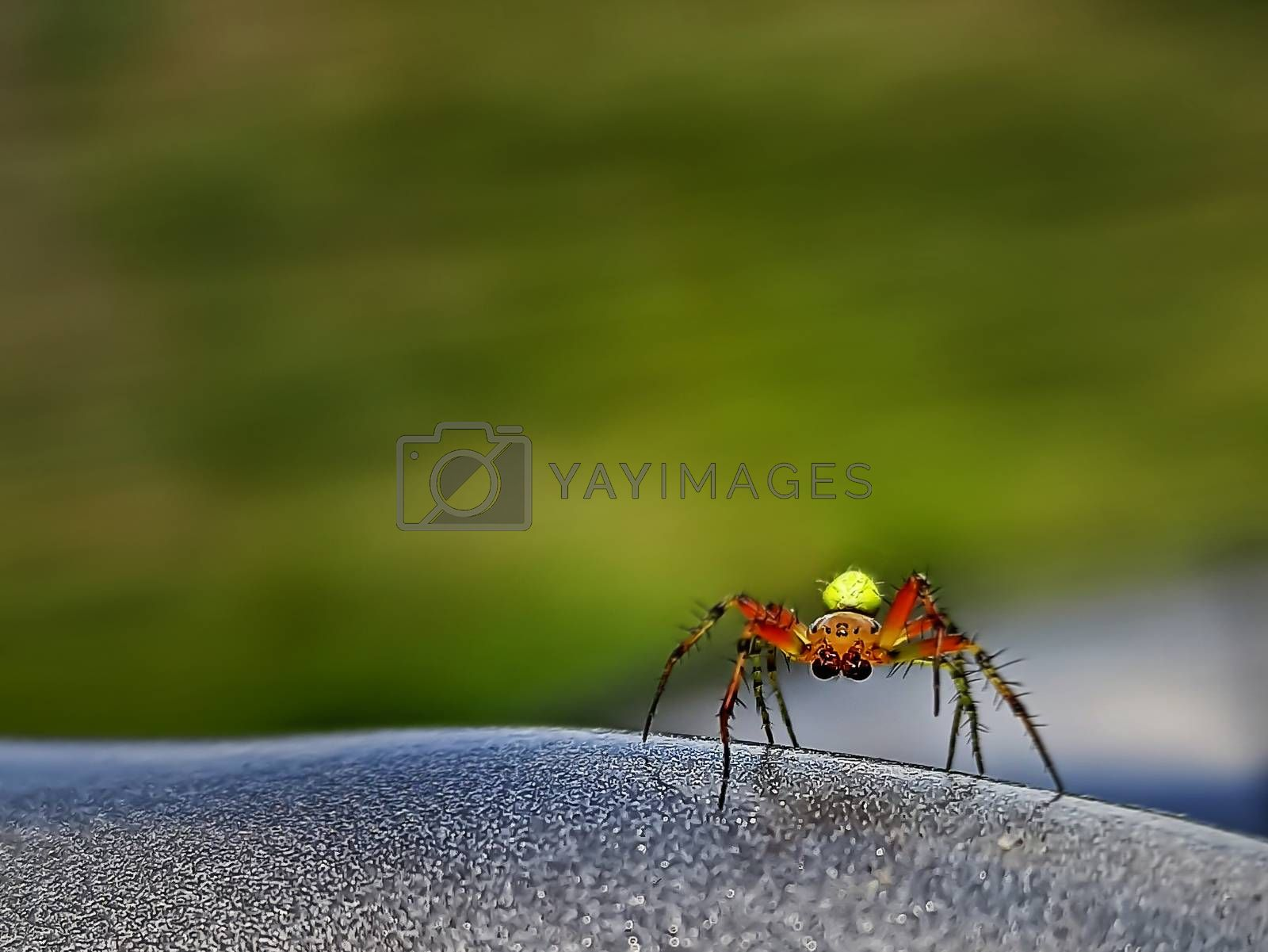 Spider with big eyes and yellow abdomen at steering wheel. Close up of dangerous and fearful, insect as trip companion. Poisonous voyage buddy portrait. Frightening friendship. Unsafe travelling photo