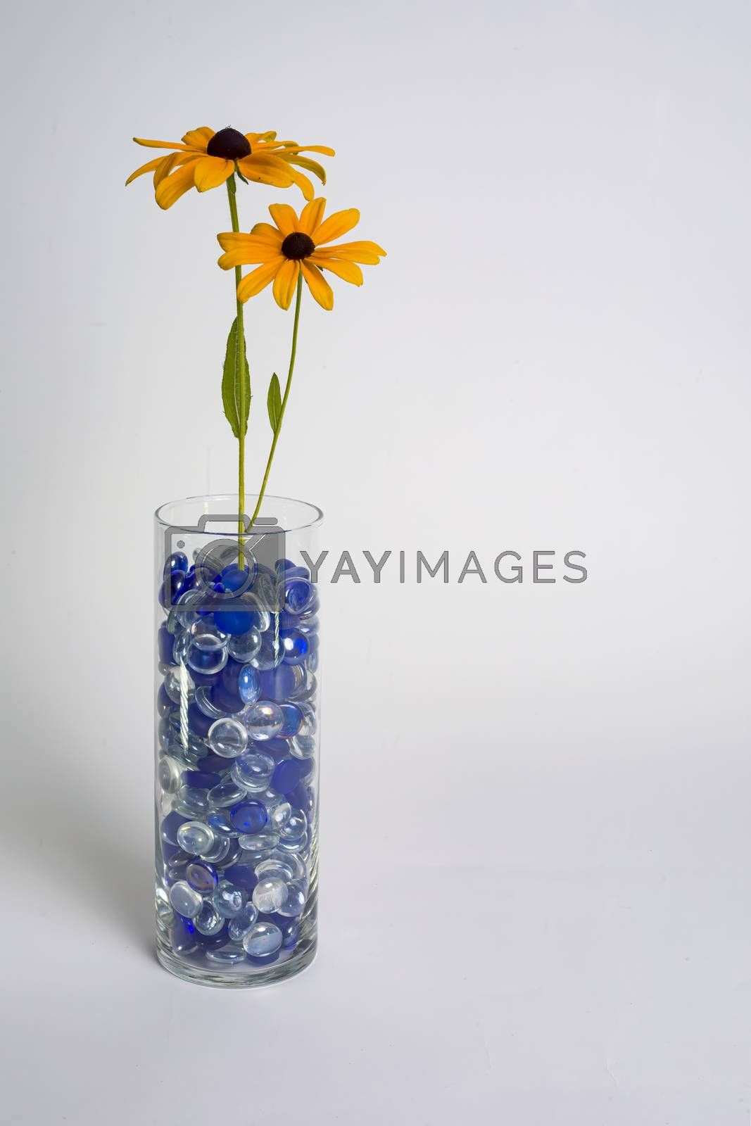 Two Black-eyed Susans in a glass vase filled with blue beads against a white backdrop.